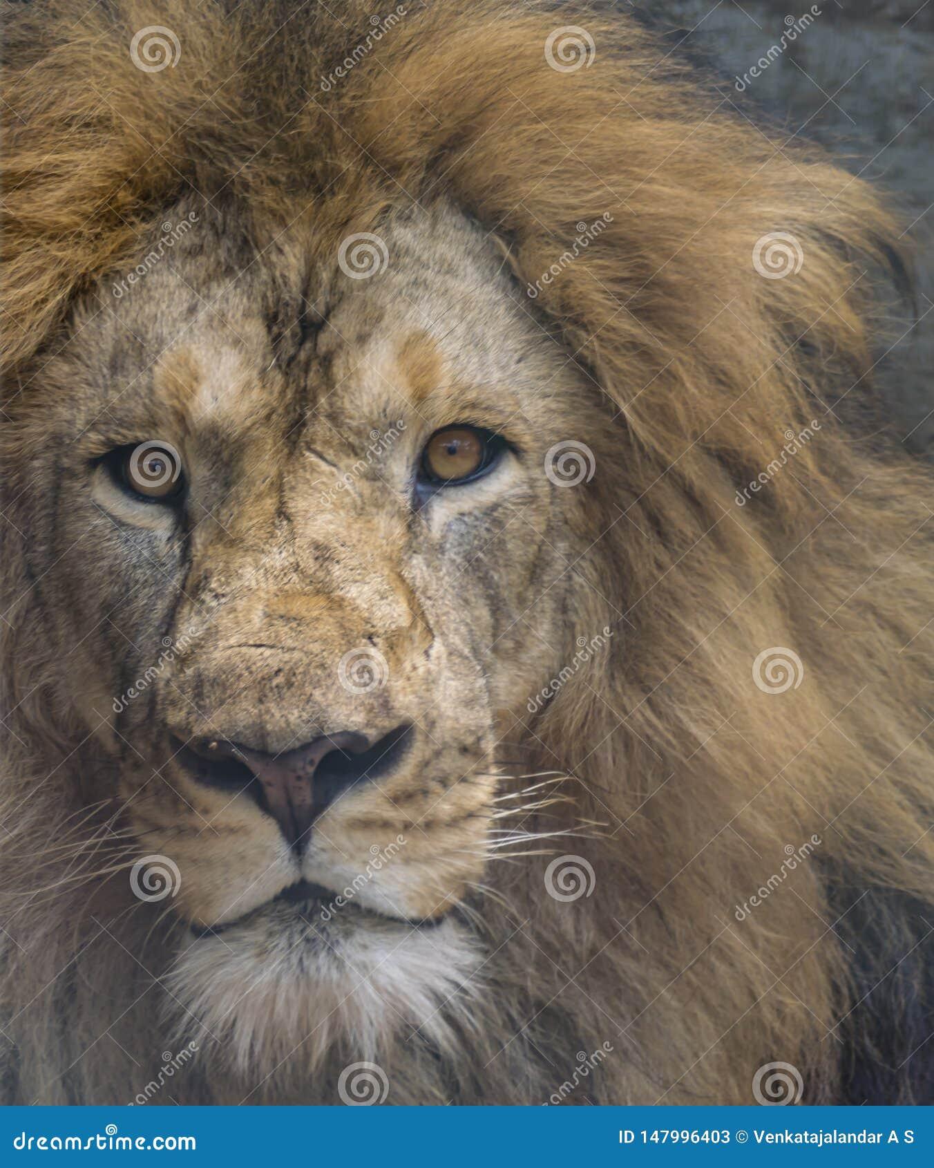 Nahaufnahme eines verärgerten männlichen Löwes - intensive Augen