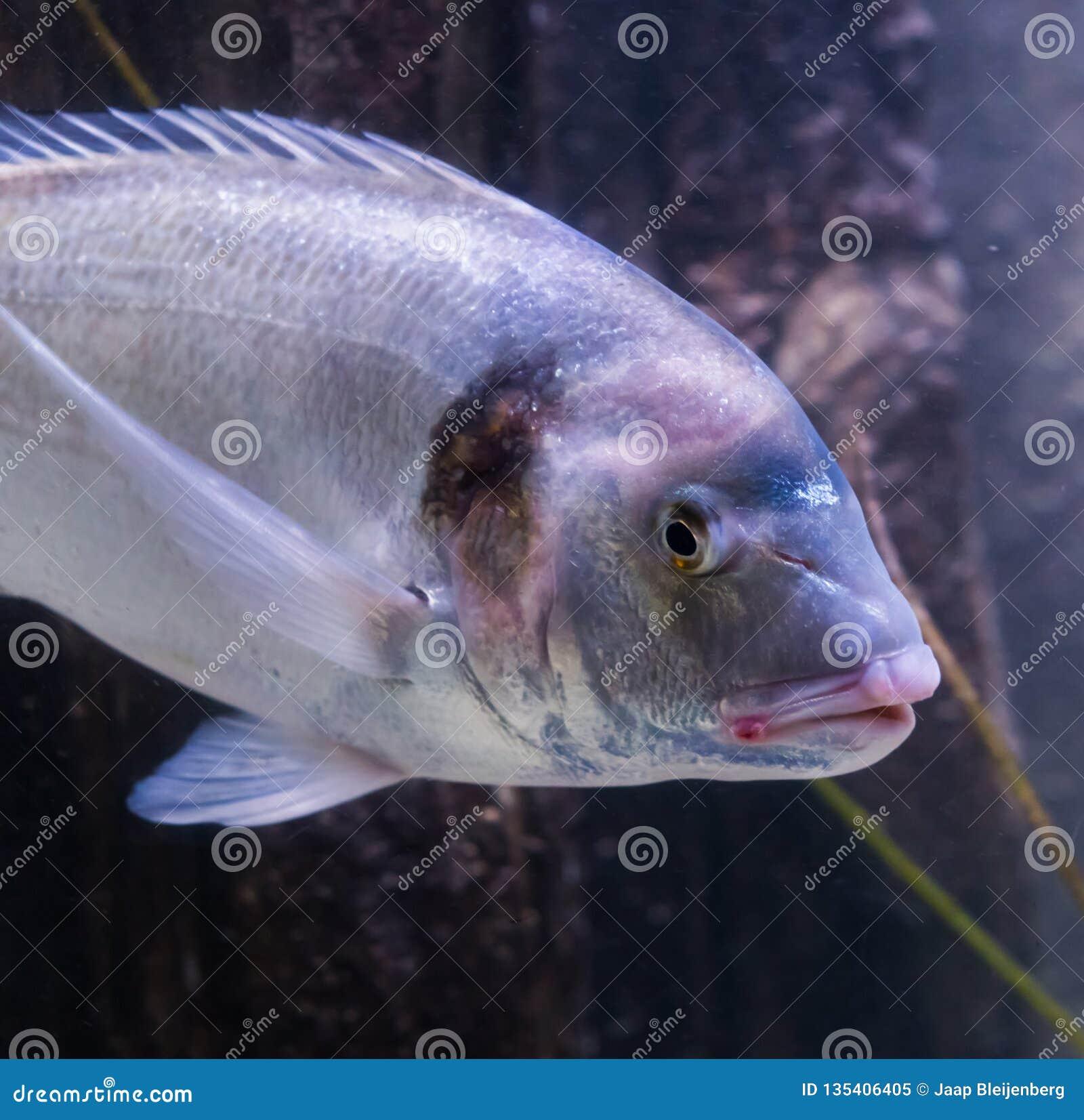 Nahaufnahme eines Vergoldungsgegenseebrachsens, ein großer Fisch vom Atlantik