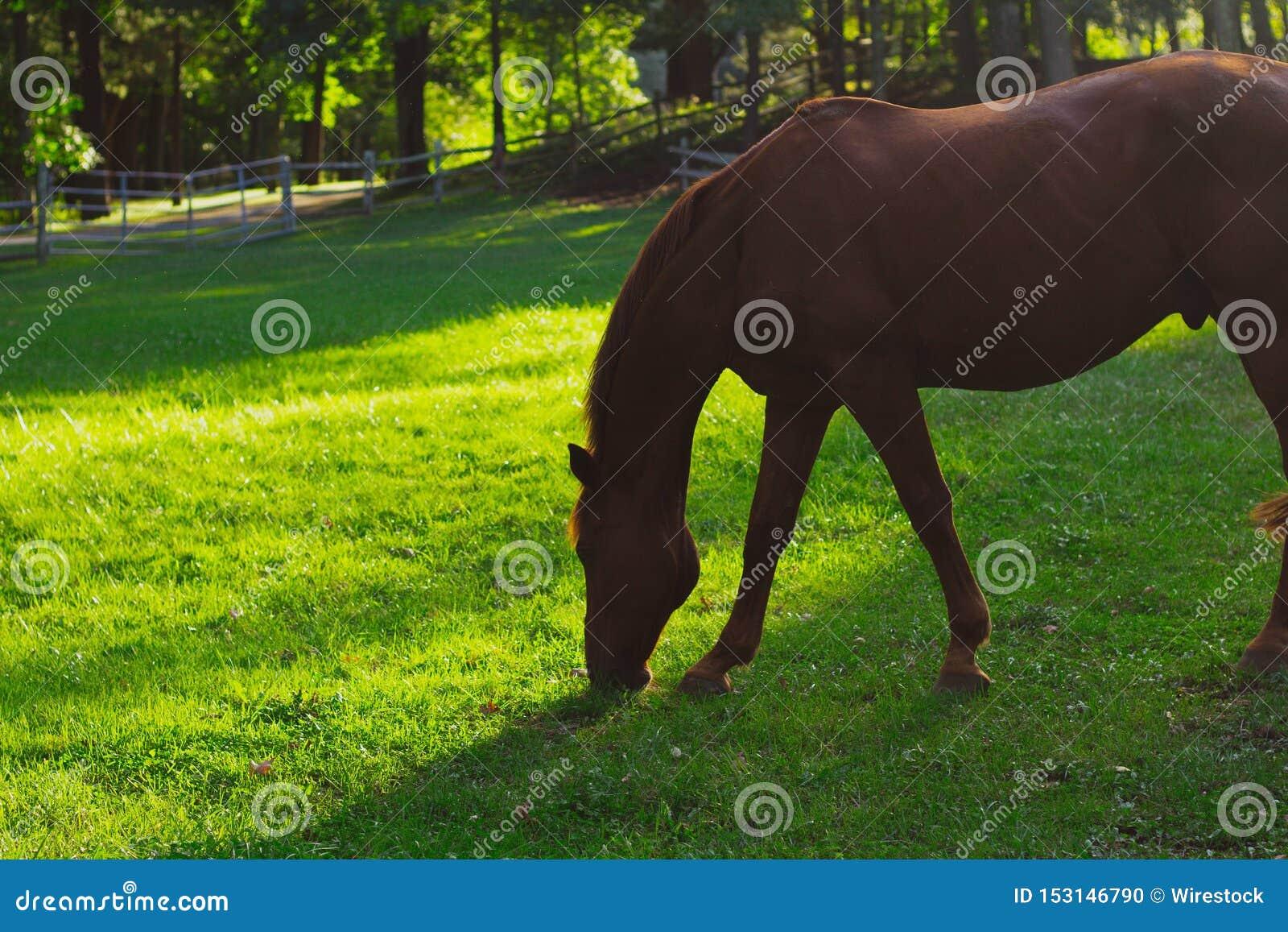 Nahaufnahme geschossen von einem schönen Pferd, das Gras mit unscharfem natürlichem Hintergrund isst