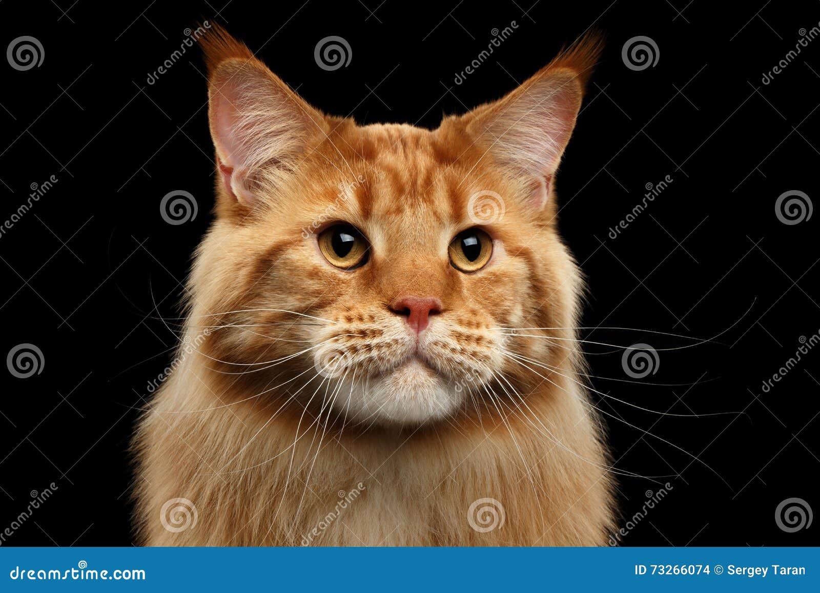 Nahaufnahme Ginger Maine Coon Cat Curious Looks, lokalisierter schwarzer Hintergrund