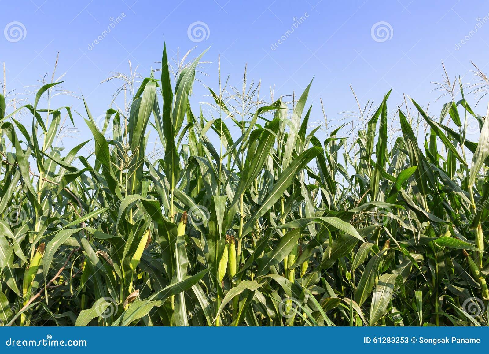 Nahaufnahme-Mais auf dem Stiel