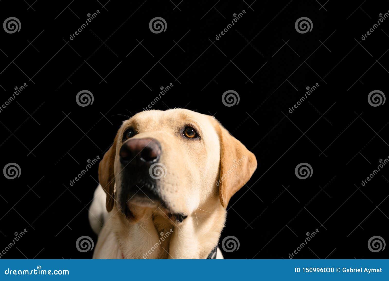 Nahaufnahme-Porträt von blondem Labrador auf schwarzem Hintergrund