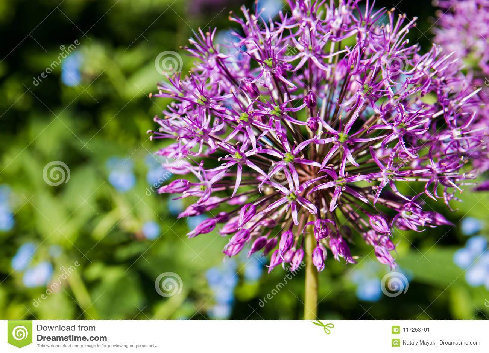 Nahaufnahme-teilweises Foto der purpurroten Lauch-Blüte
