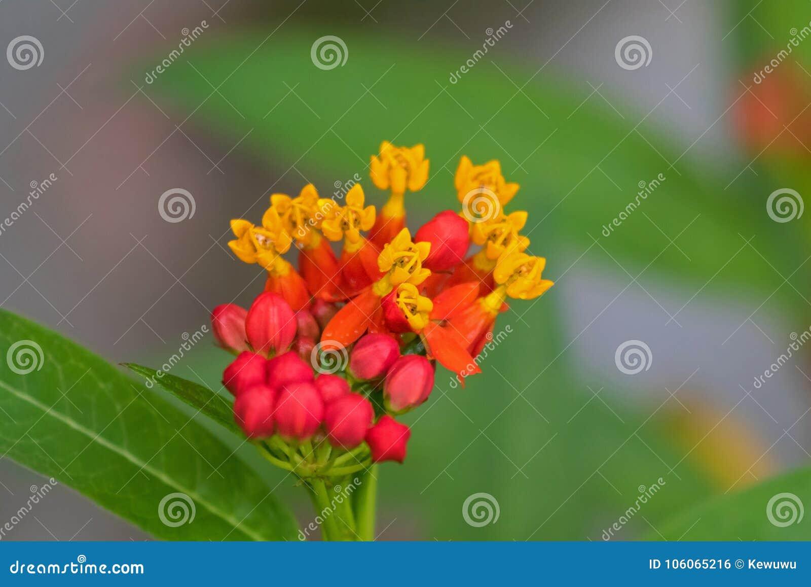Nahaufnahme tropische Milkweedblume im gelben roten rosa bloodflower