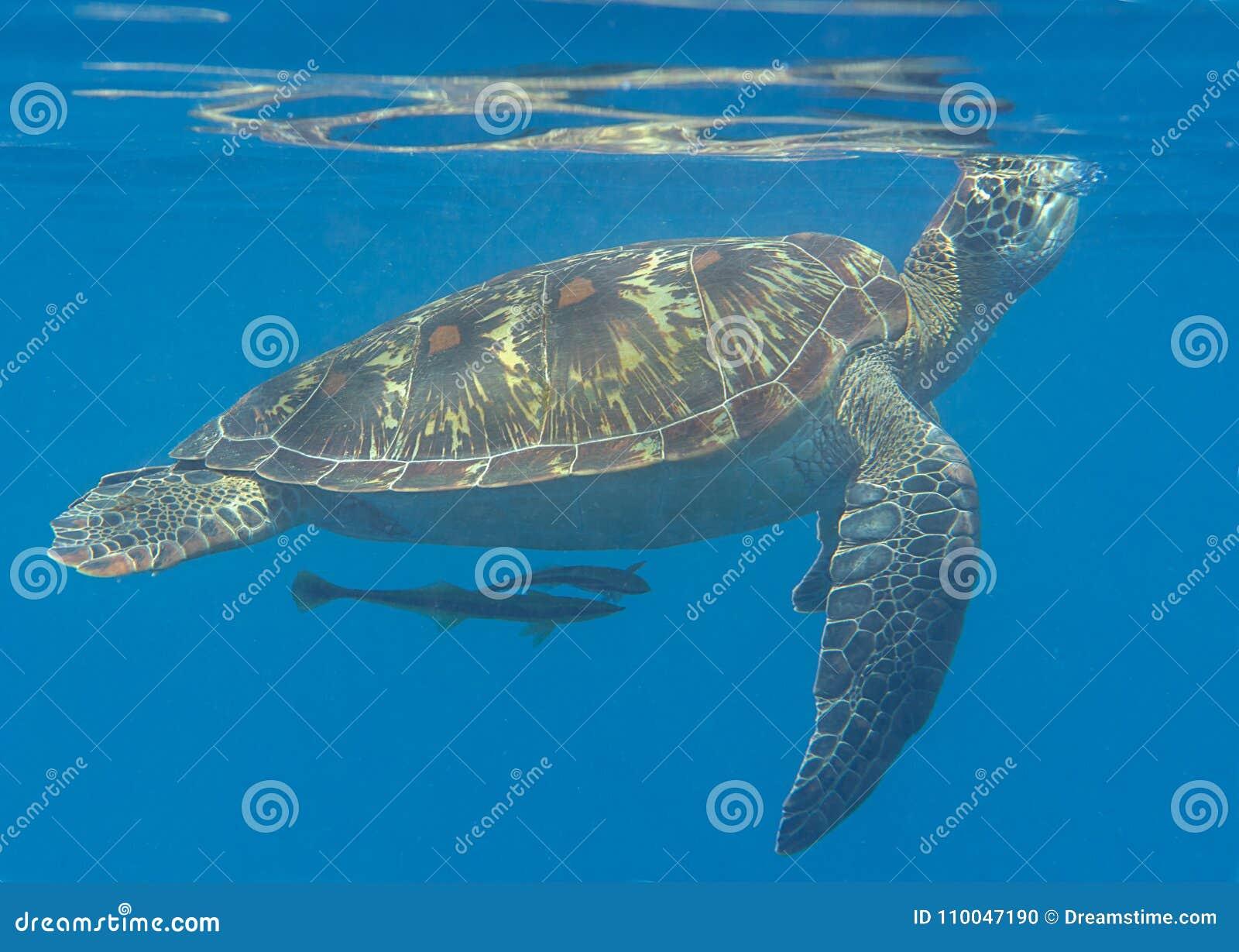 Nahaufnahme von ein Grünmeeresschildkröte Chelonia mydas, die zur Oberfläche zur Atemluft schwimmen
