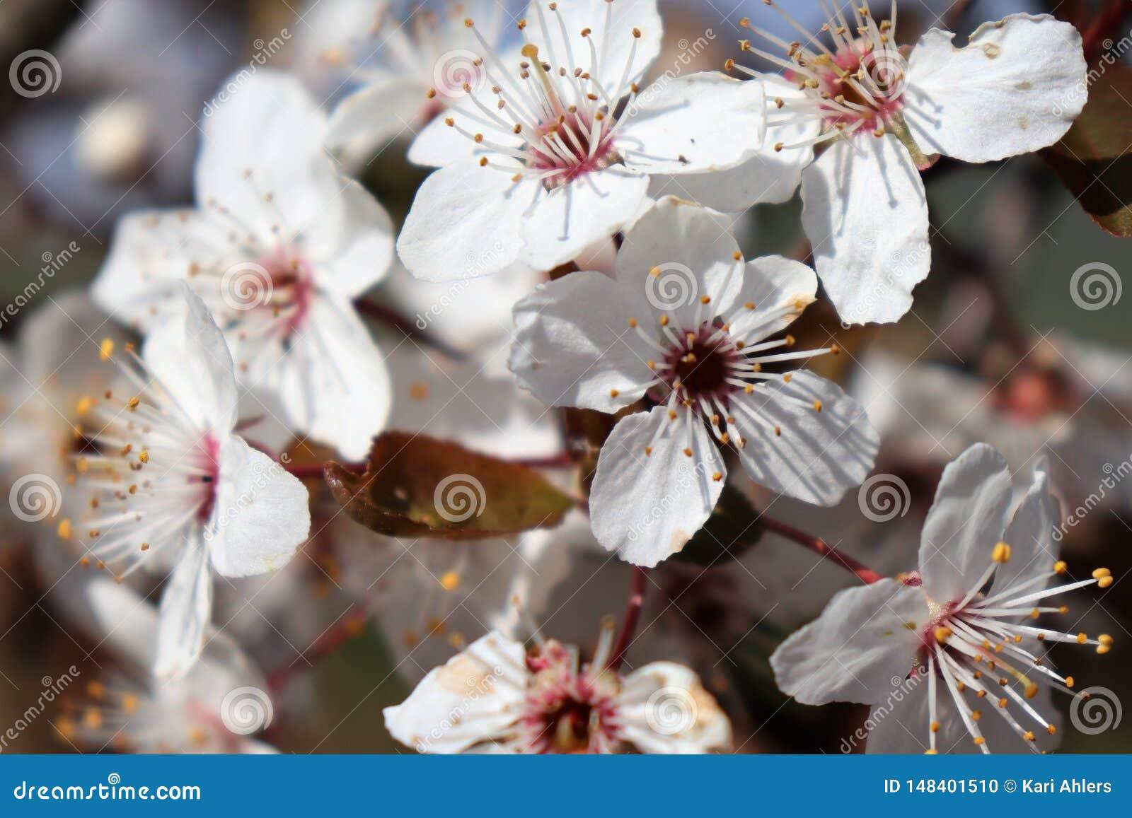 Nahaufnahme von mehrfachen Staubgef?ssen auf einer wei?en Blume, die im Fr?hjahr bl?ht