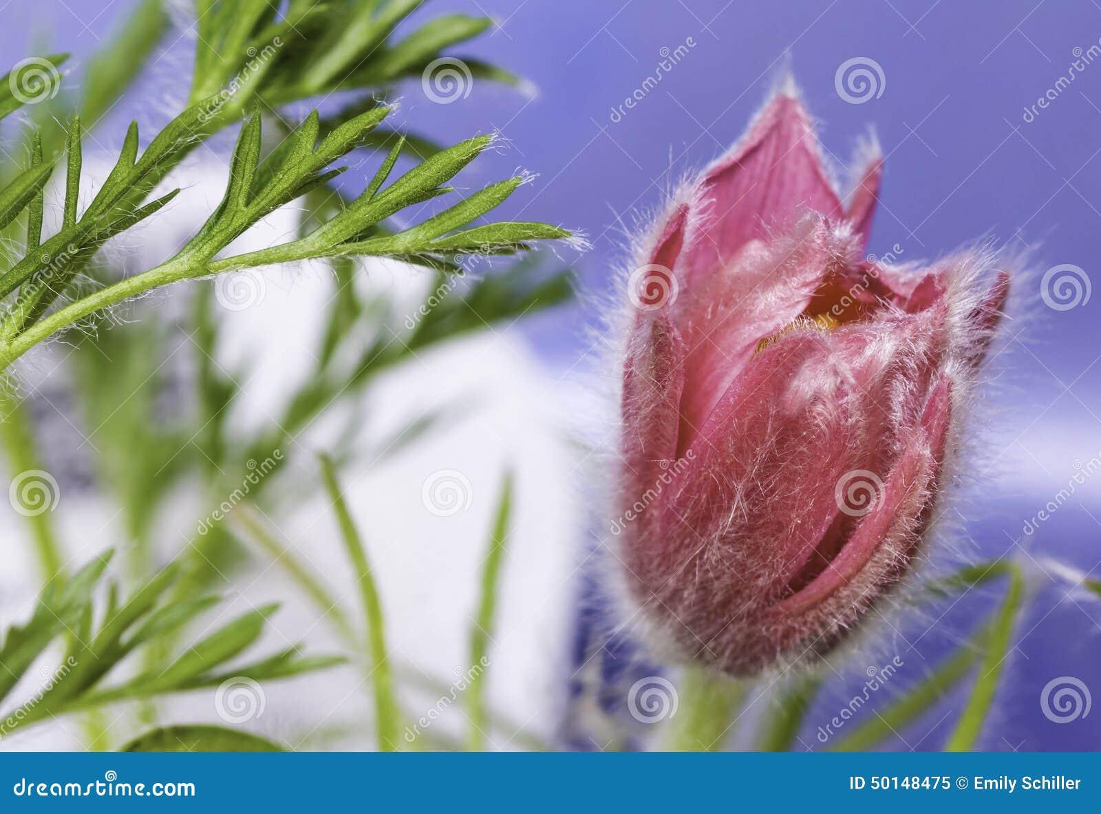 Nahaufnahme von rosa Pasque Flower