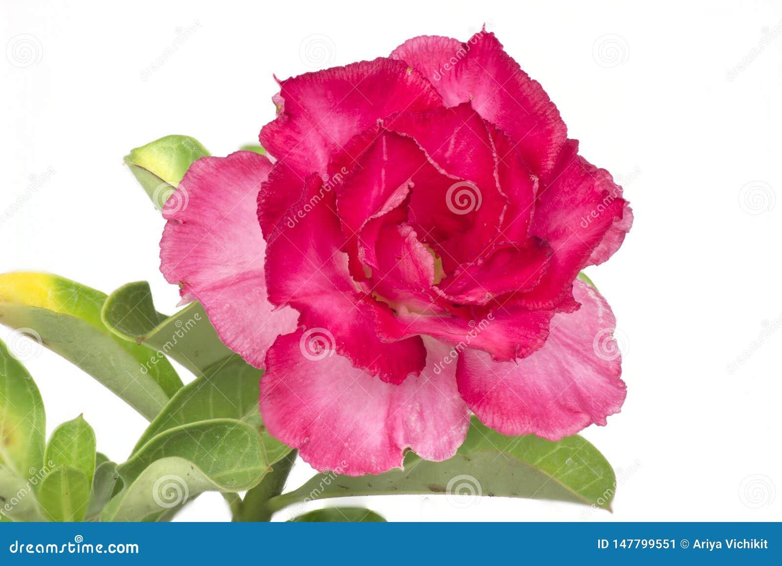 Nahaufnahme von roten Adeniumblumen auf einem weißen Hintergrund