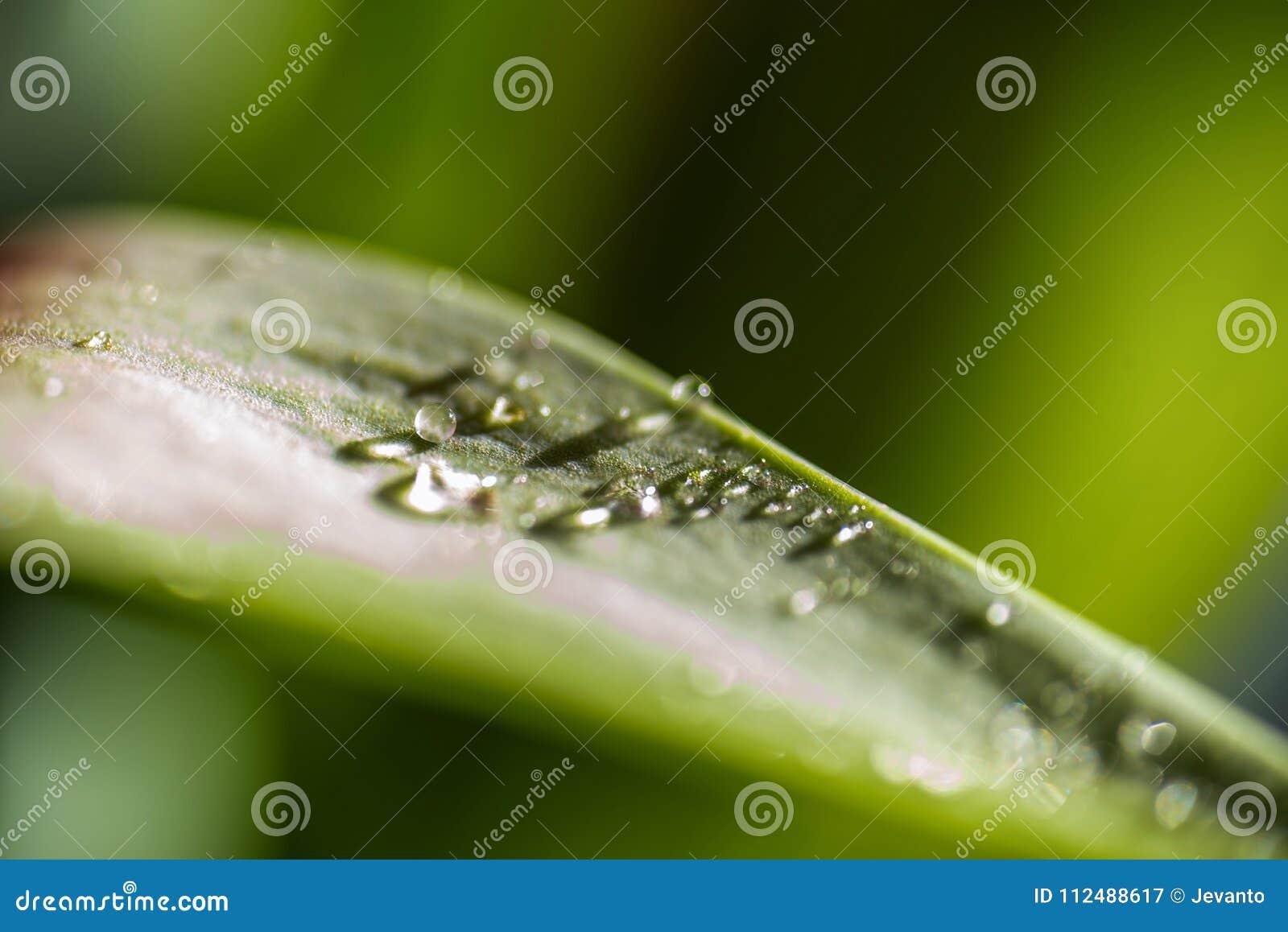 Nahaufnahmeansicht von Tropfen des Taus des Morgens auf grünem Blatt mit Sonnenlicht