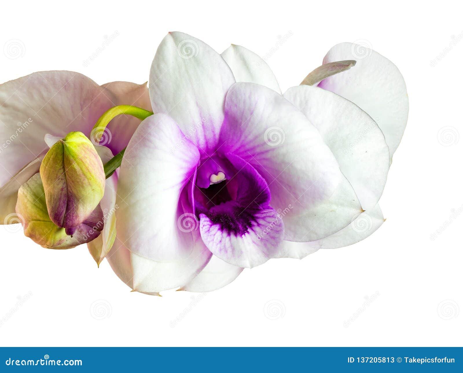 Nahaufnahmeansicht von weißen Orchideenblumen
