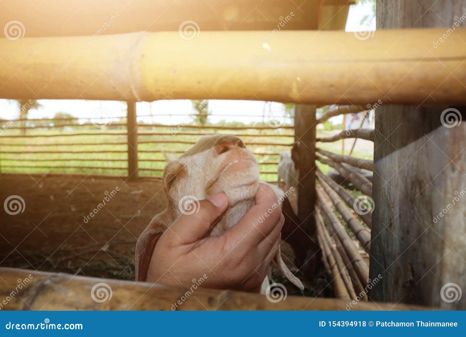 Nahaufnahmefotos von den Tierärzten, die Bauernhof goats& x27 überprüfen; Gesundheit