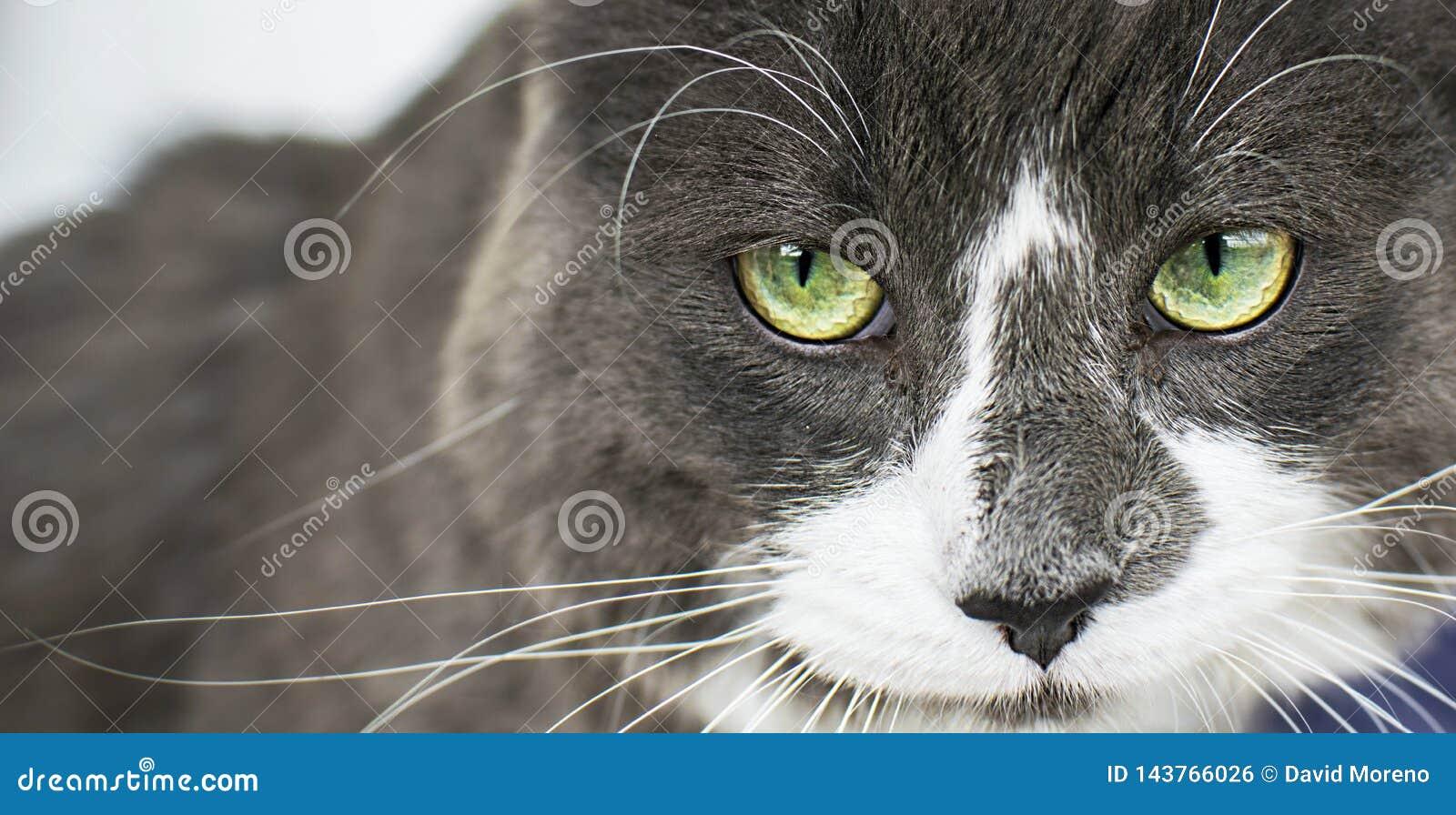 Nahe hohe Ansicht des schönen grünen cat& x27; s-Auge, das defiantly Kamera betrachtet Graue und weiße verärgerte Katze auf weiße