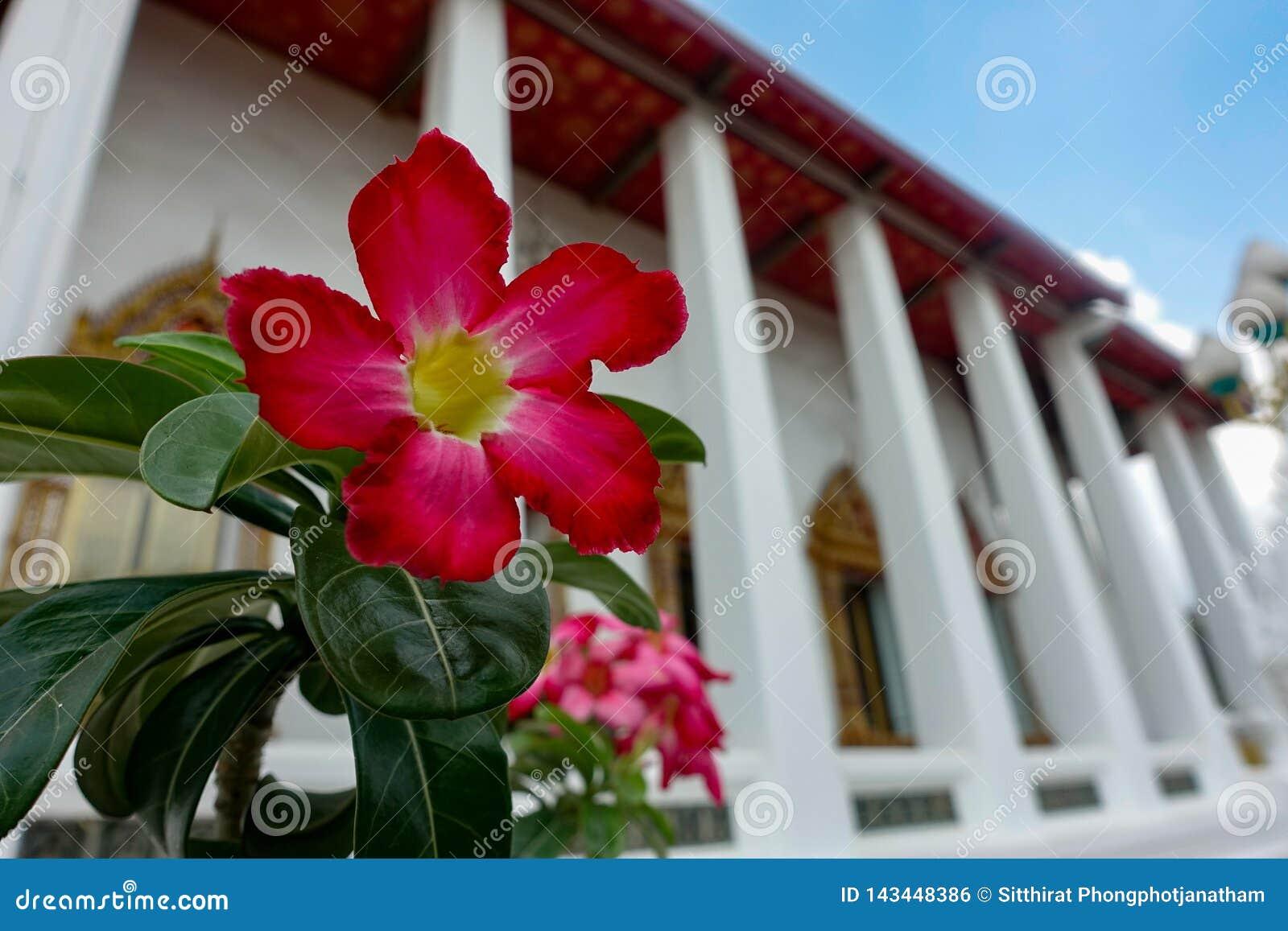 Nahe oben rote Petunie im Tempel