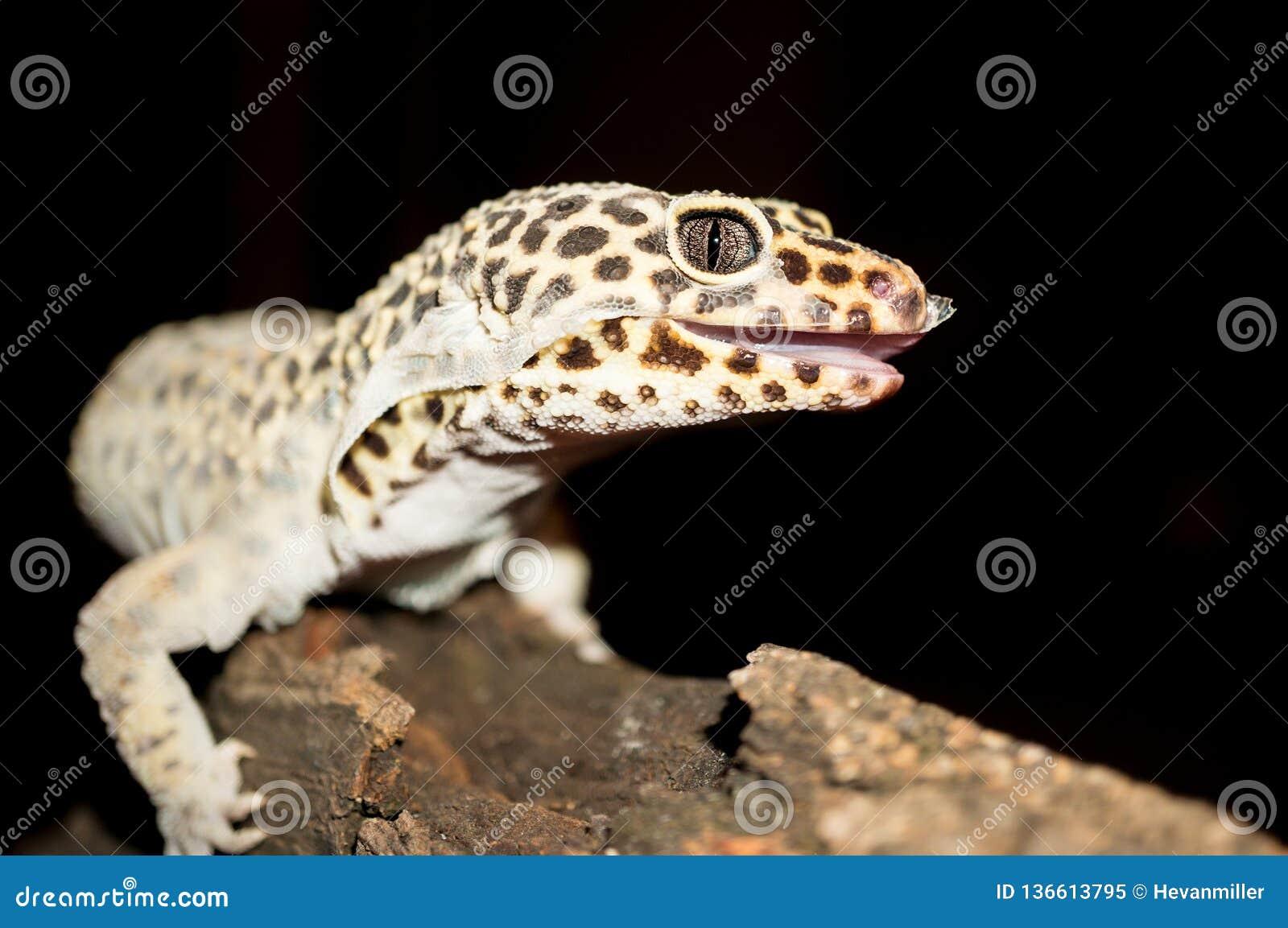 Naher hoher Schuss des Leopard-Geckos Haut verschüttend