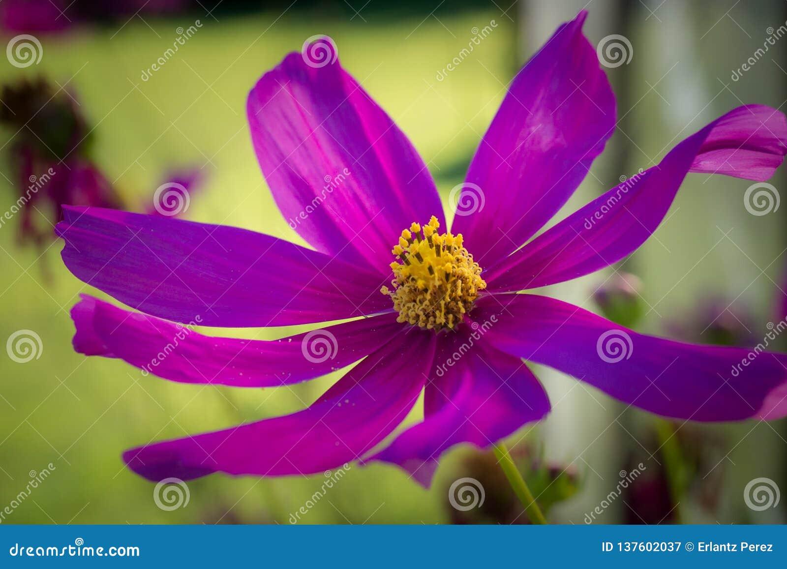 Nahes Detail einer purpurroten Blume