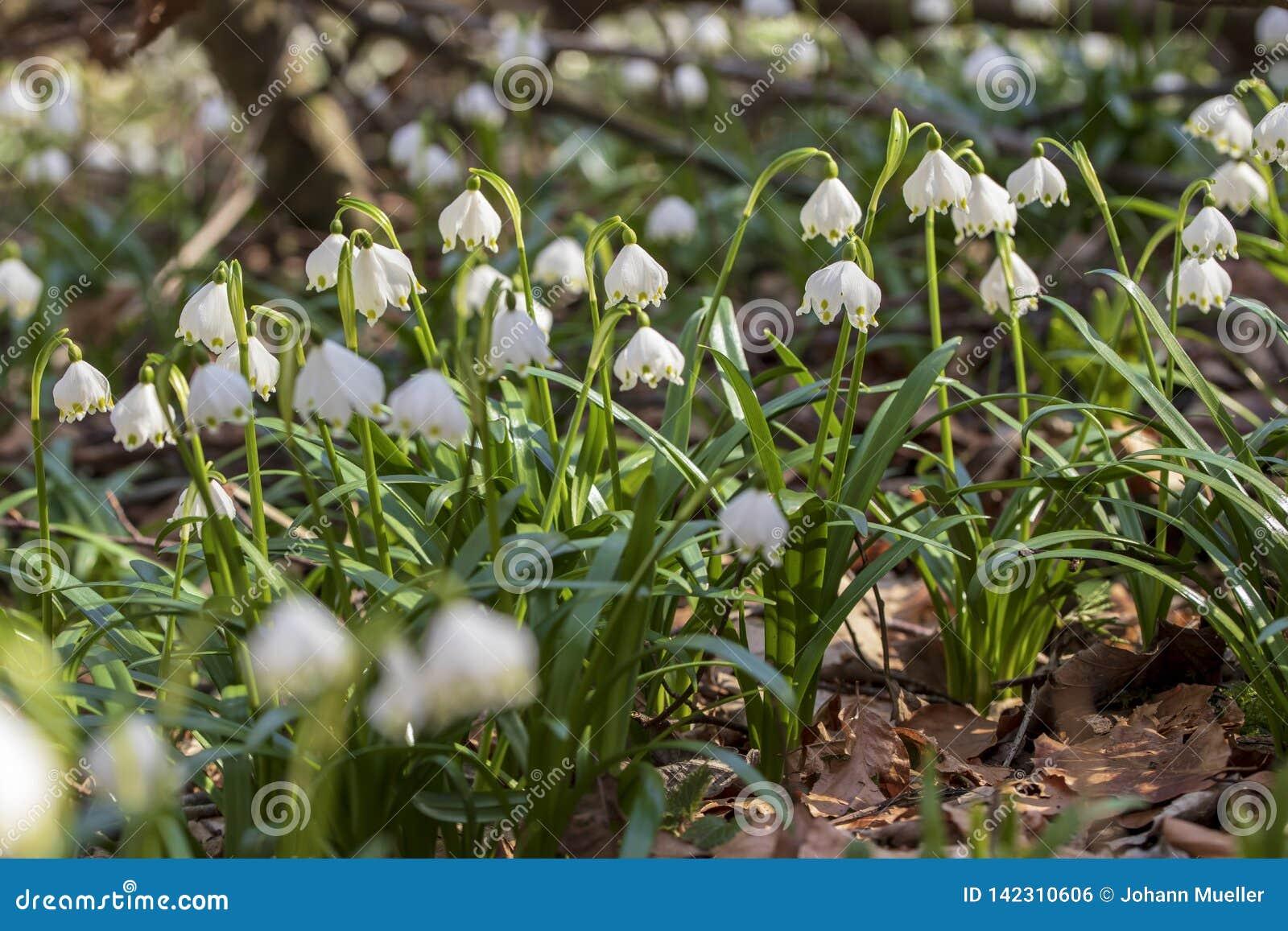 Nahes hohes Bild der frischen weißen und gelben Frühlingsschneeflocke
