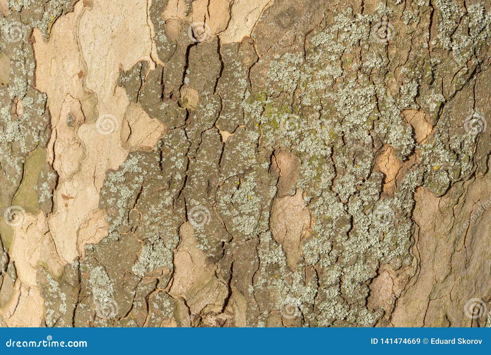Nahes hohes Bild der gesprenkelten Platanenbaumrinde für Hintergrund