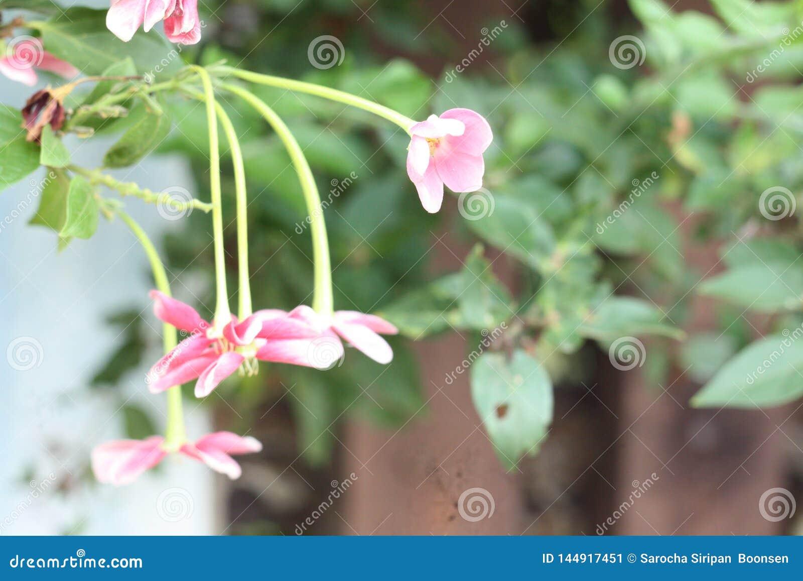 Nahes hohes Bild von Blumen eines erstaunlichen schönen chinesischen Geißblattes