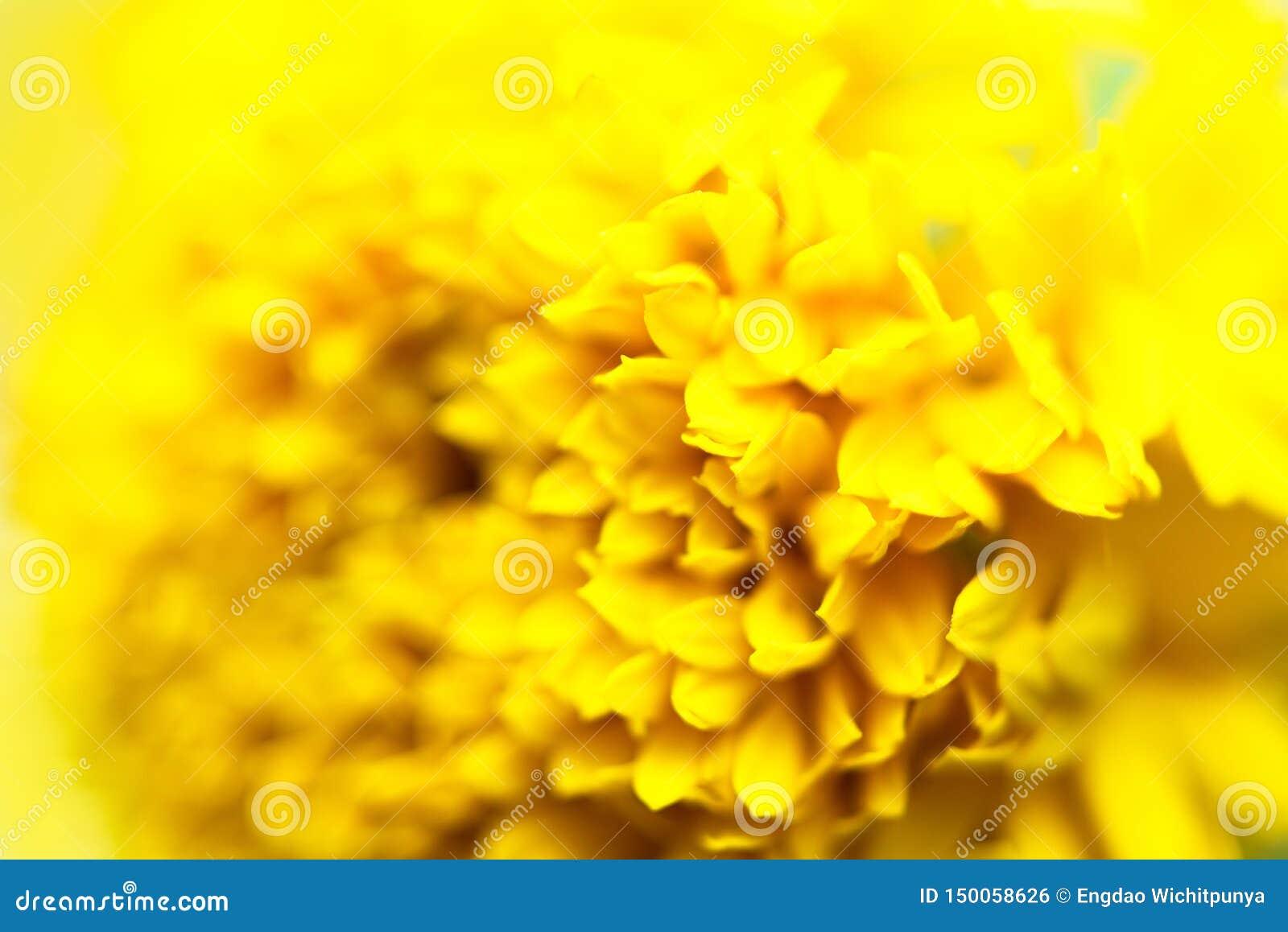 Nahes hohes Blumengelb auf Natur - Makro von Blumenblattbeschaffenheits-Ringelblumenblumen