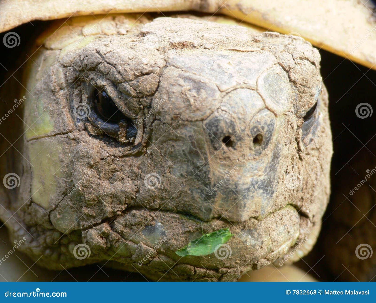 Nahes hohes der Schildkröte