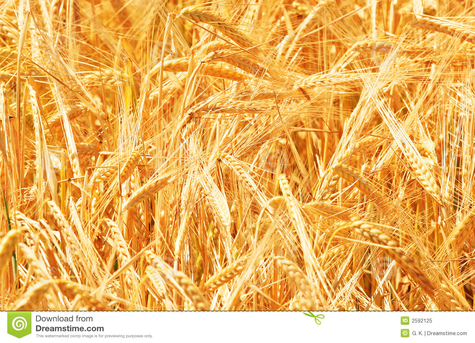 Nahes hohes des Weizens