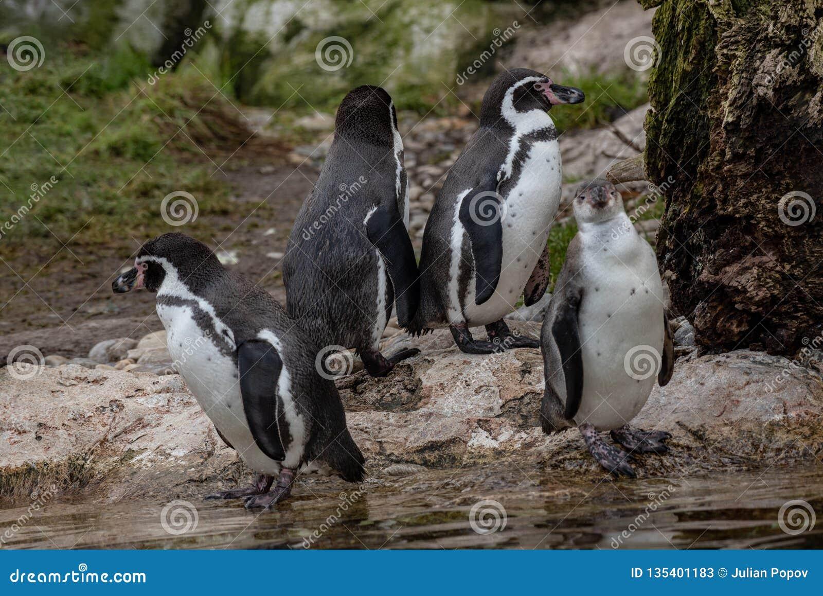 Nahes hohes Porträt des Fotos Humboldt-Pinguin Spheniscus humboldti wild lebender Tiere