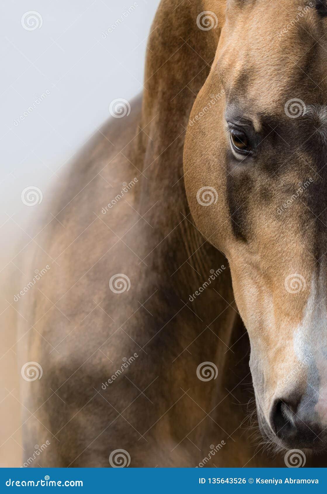 Nahes hohes Porträt des goldenen Wildlederpferds Akhalteke