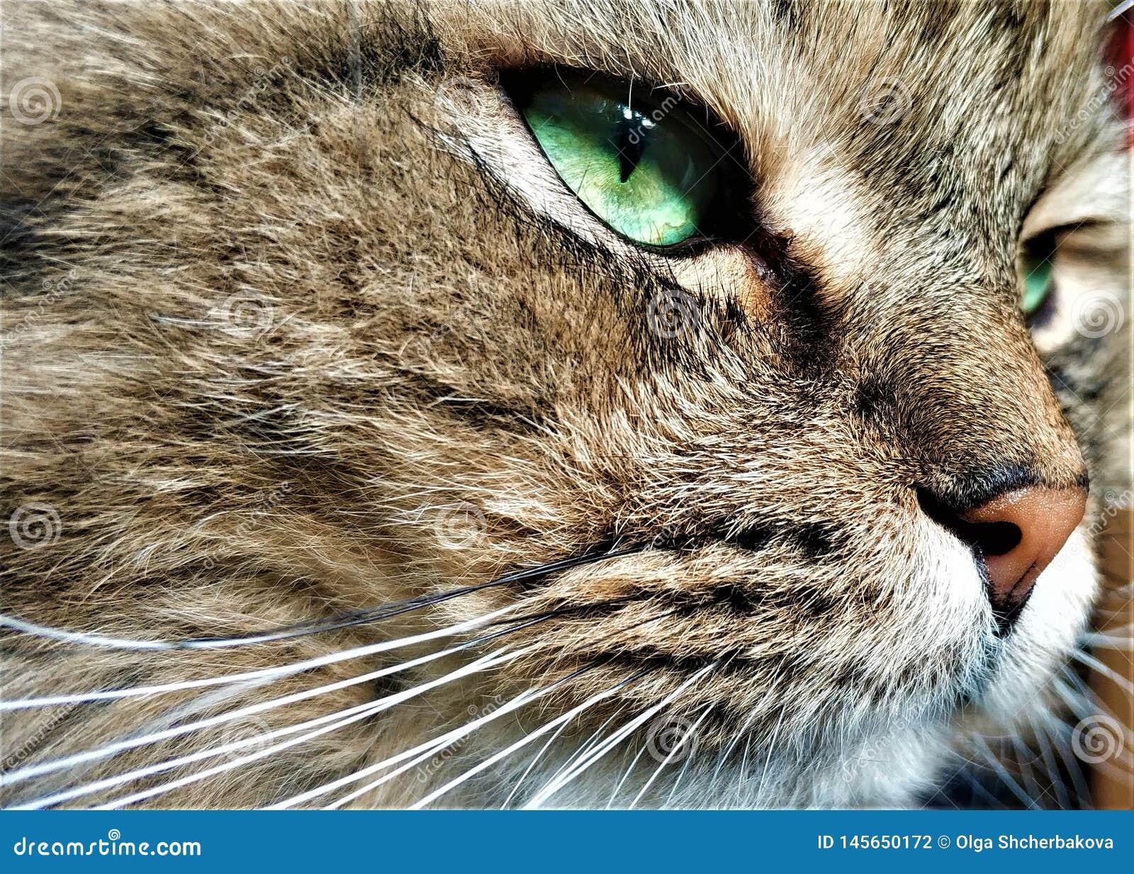 Nahes hohes Portr?t der sibirischen Zucht der gr?n?ugigen Katze