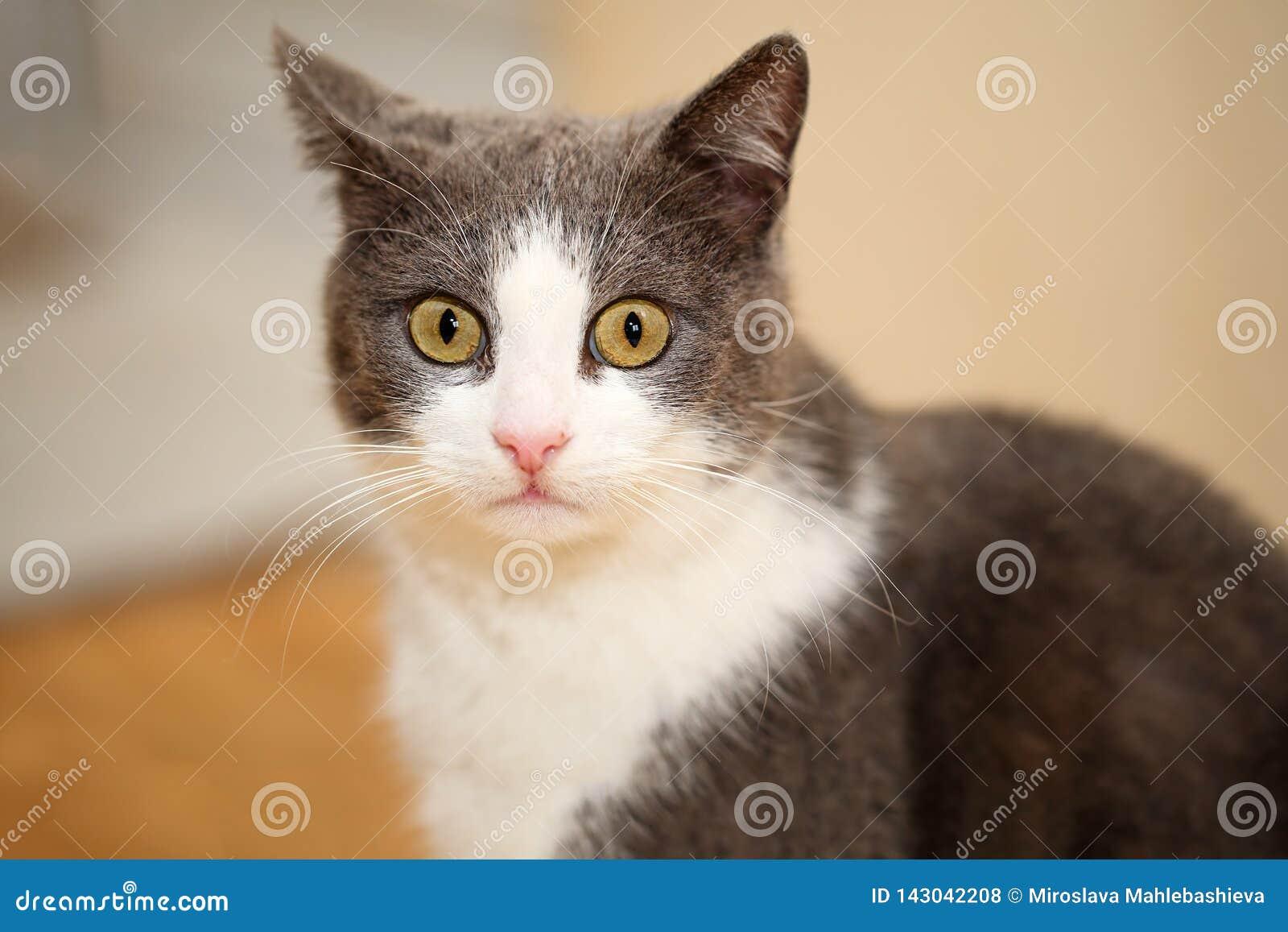 Nahes Porträt eines netten und lustigen Graus mit weißer Katze, betrachtend erstaunt