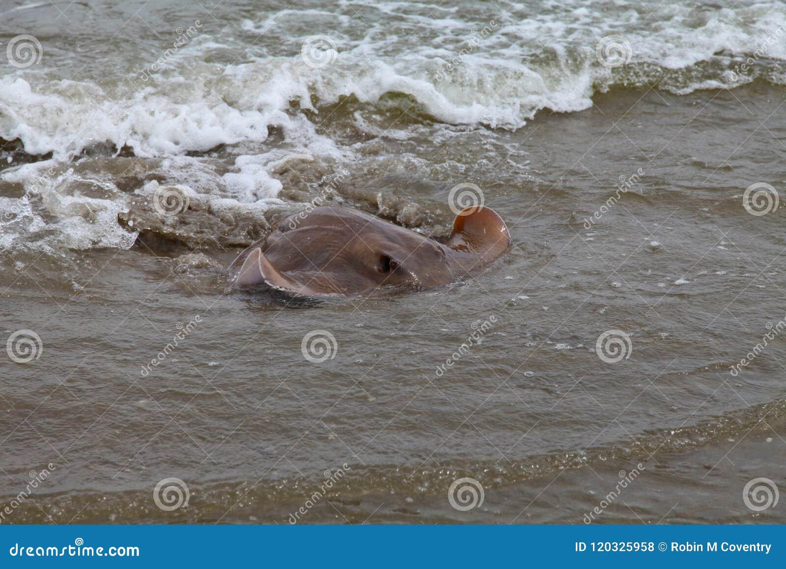 Nahes Ufer des Cownose-Stichstrahls