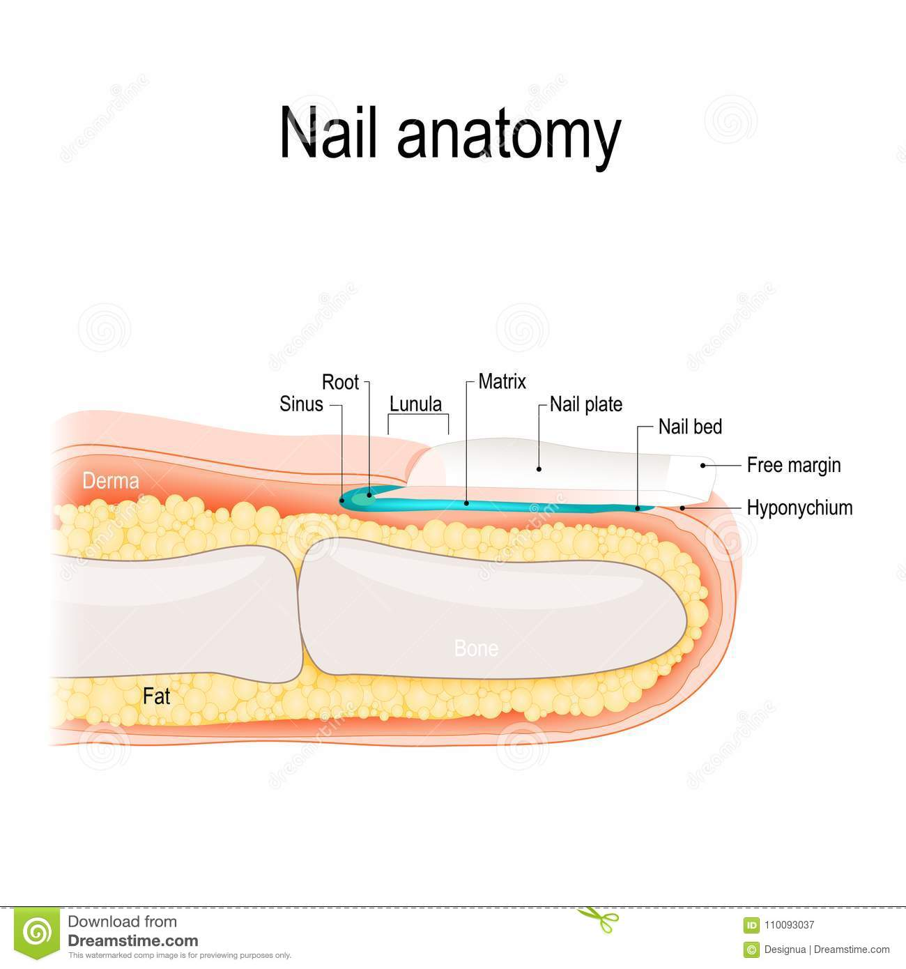 Nail Anatomy Detailed Vector Illustration Stock Vector