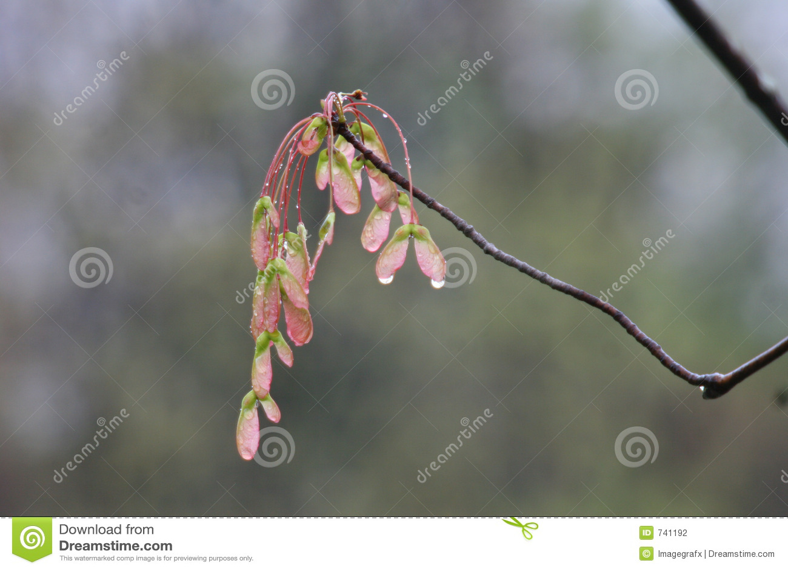 Naissance d un arbre d érable