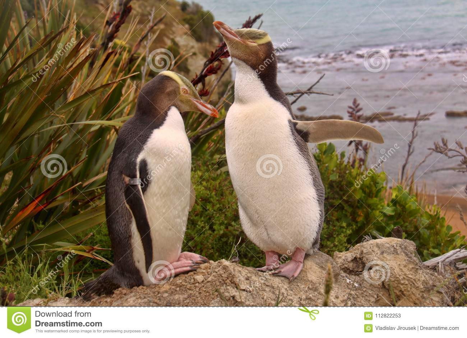 Najwięcej cennego pingwinu utrzymania, Przyglądający się pingwin, Megadyptes antipodes, Nowa Zelandia