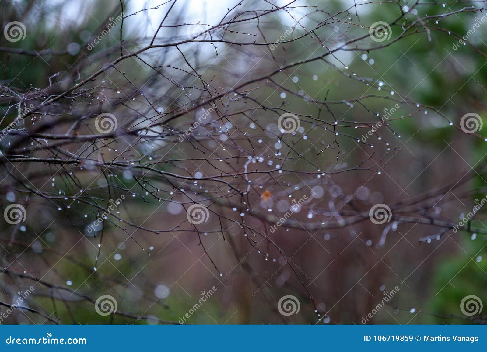 Naked Birch Tree Branches In Autumn Against Dark