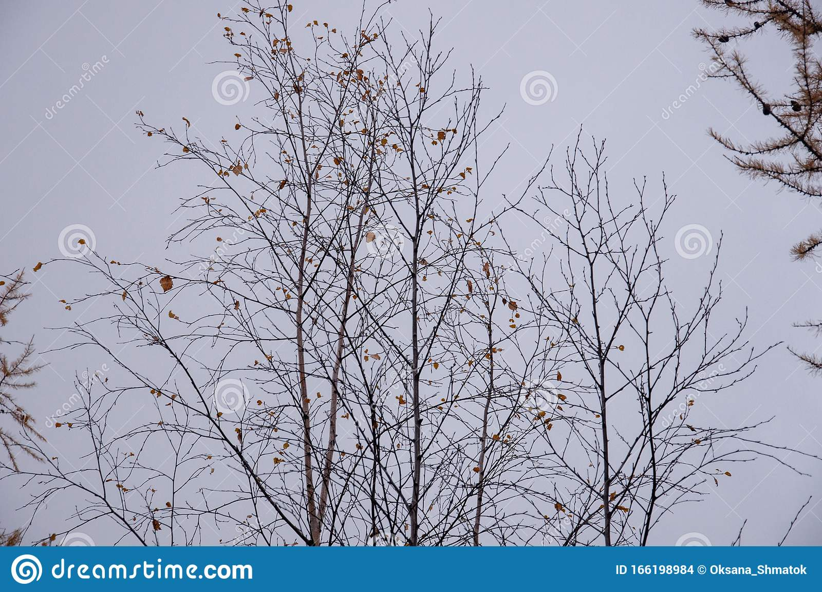 Naked Birch Tree With Rare Small Brown Leaves In The Fall