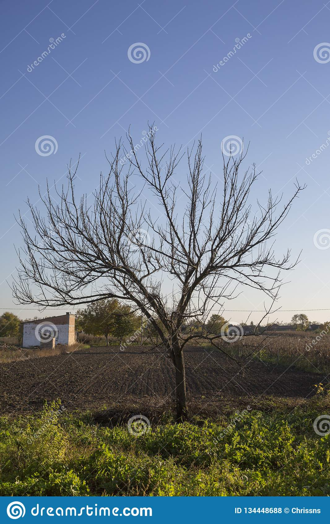 Naked Tree In The Bush Of High Dunes In The North Of The