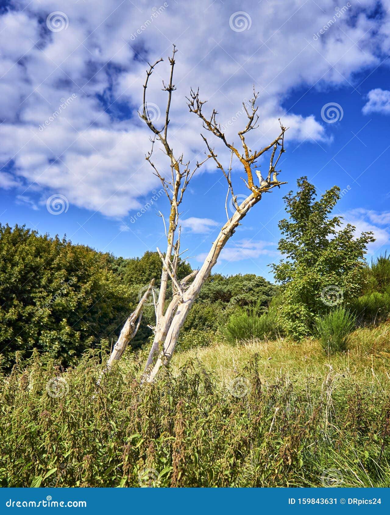 Naked Tree In A Field Of Wild Anemone (windflower) Flowers