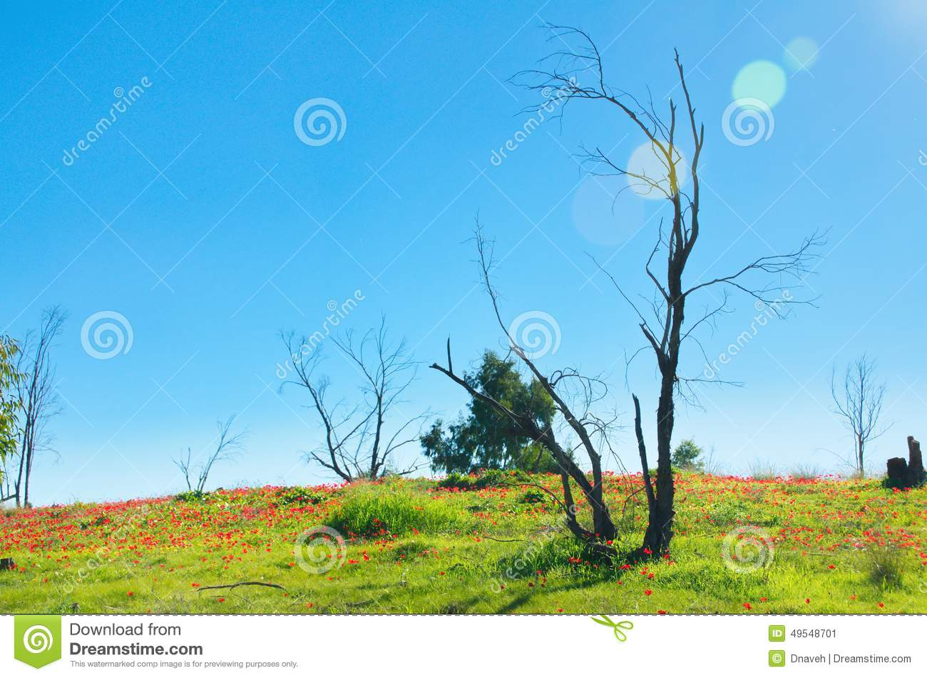 Naked Tree In Field Of Dafodils Stock Image - Image of