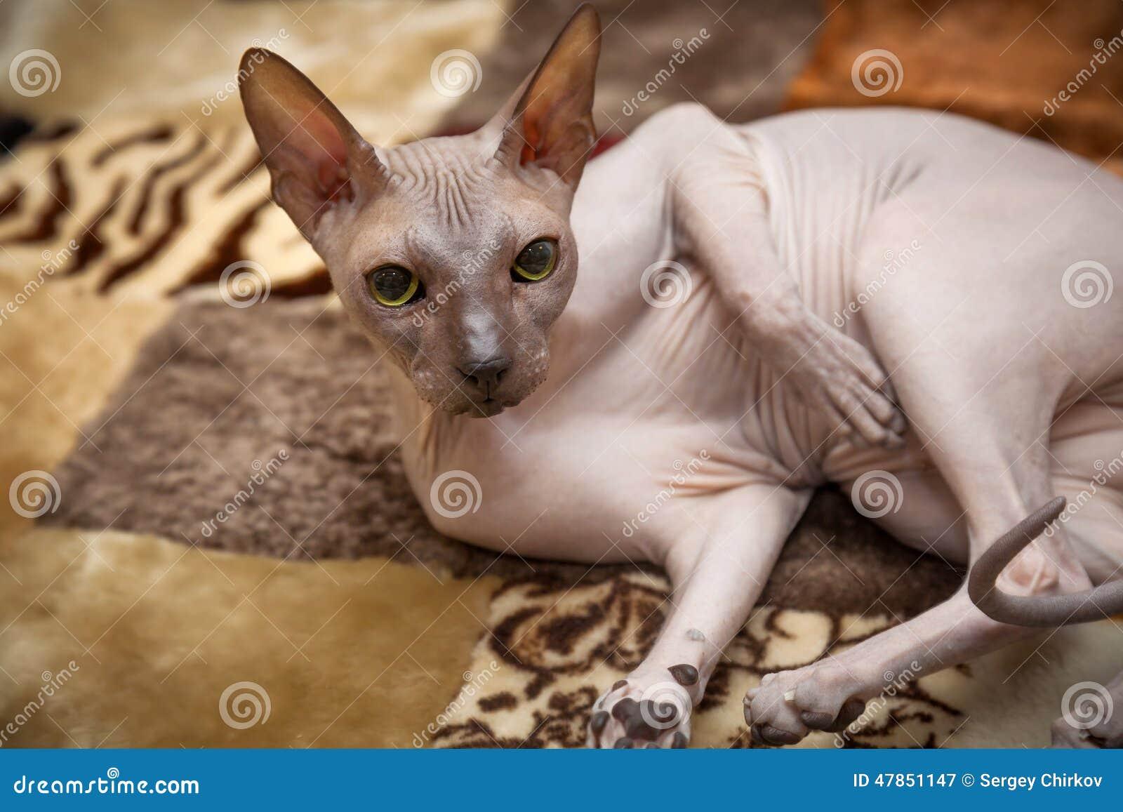 naken katt