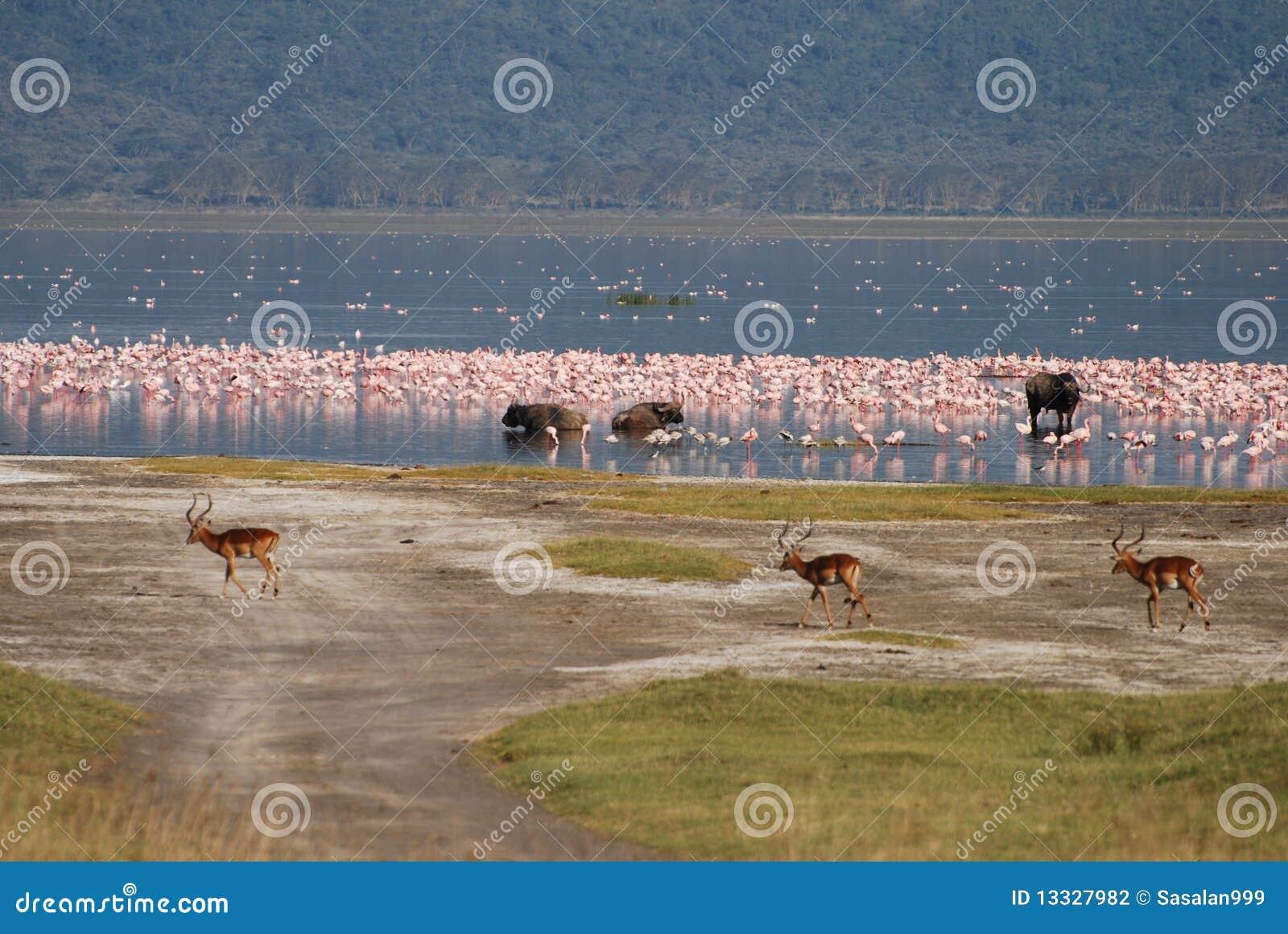 Nakuru jeziorna przyroda