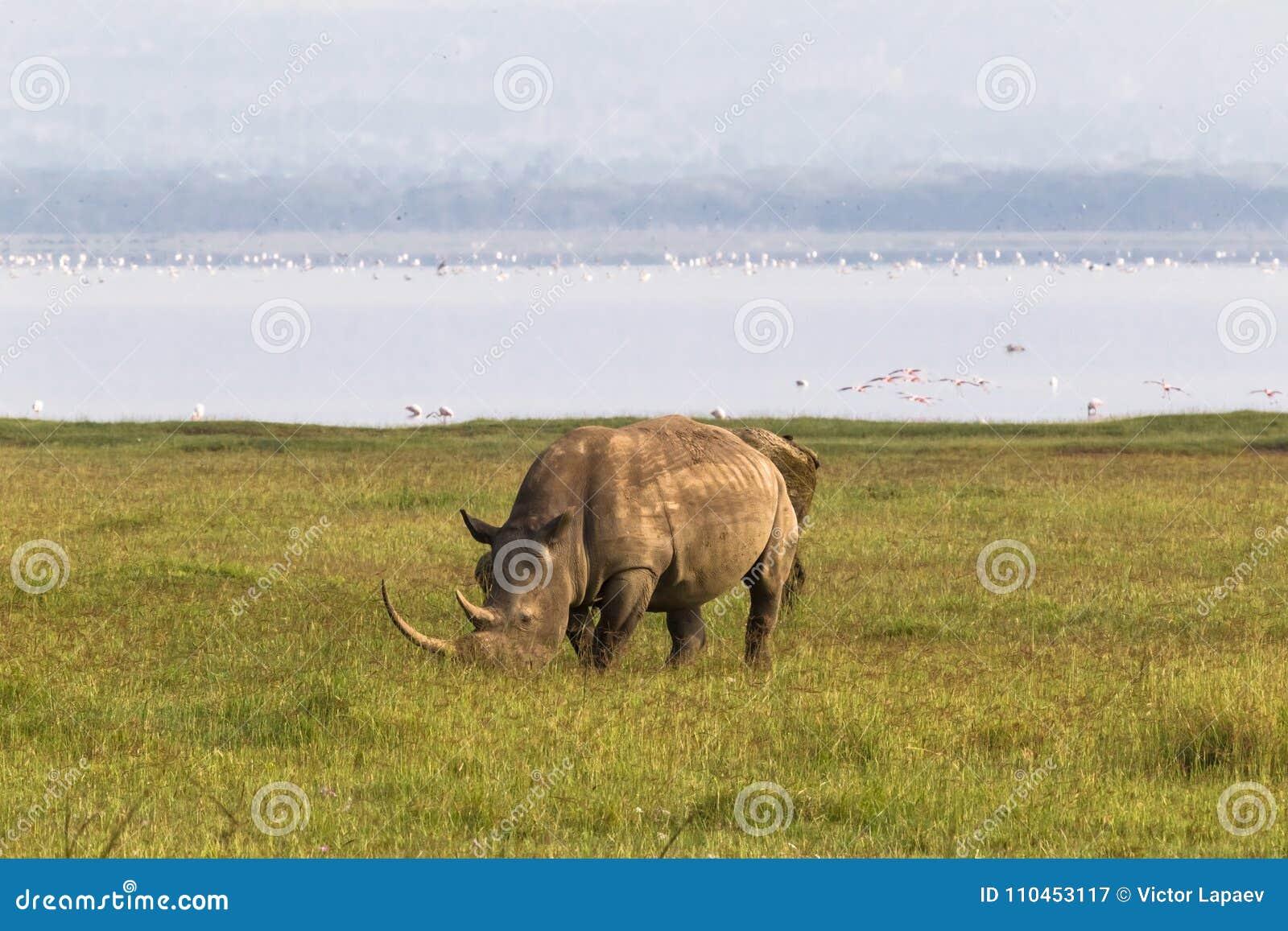 Nakuru strand Vit noshörning, Kenya