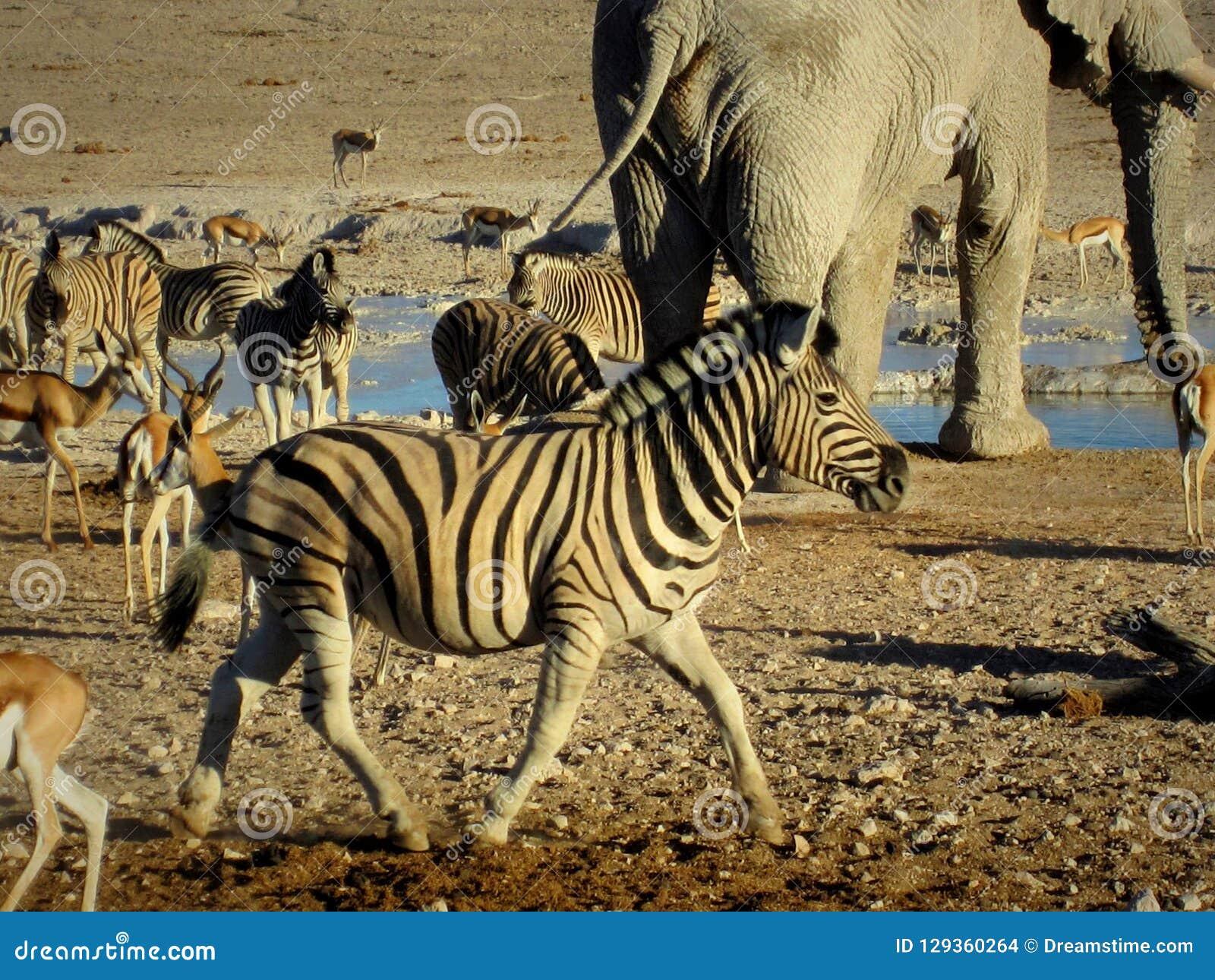 Namíbia, bandeja de Etosha, elefante e a outra água potável dos animais com a zebra no primeiro plano