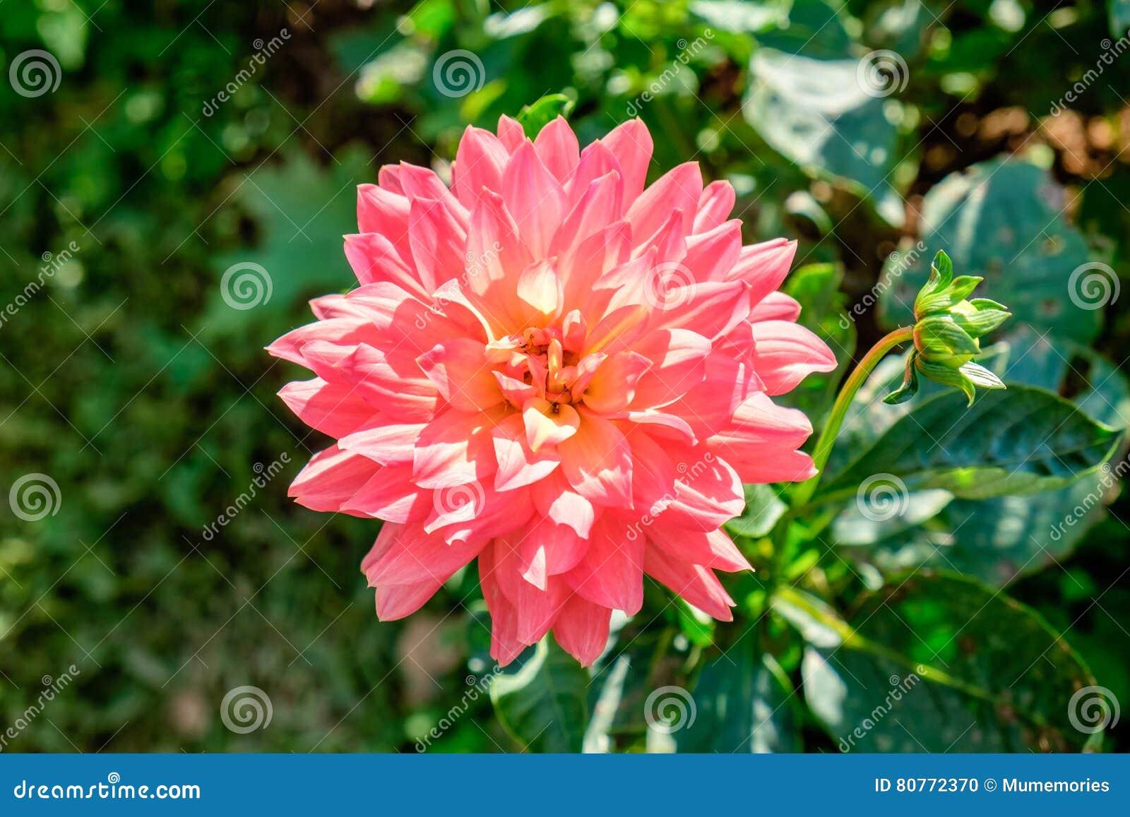 Nam roze bloeiend groen blad toe