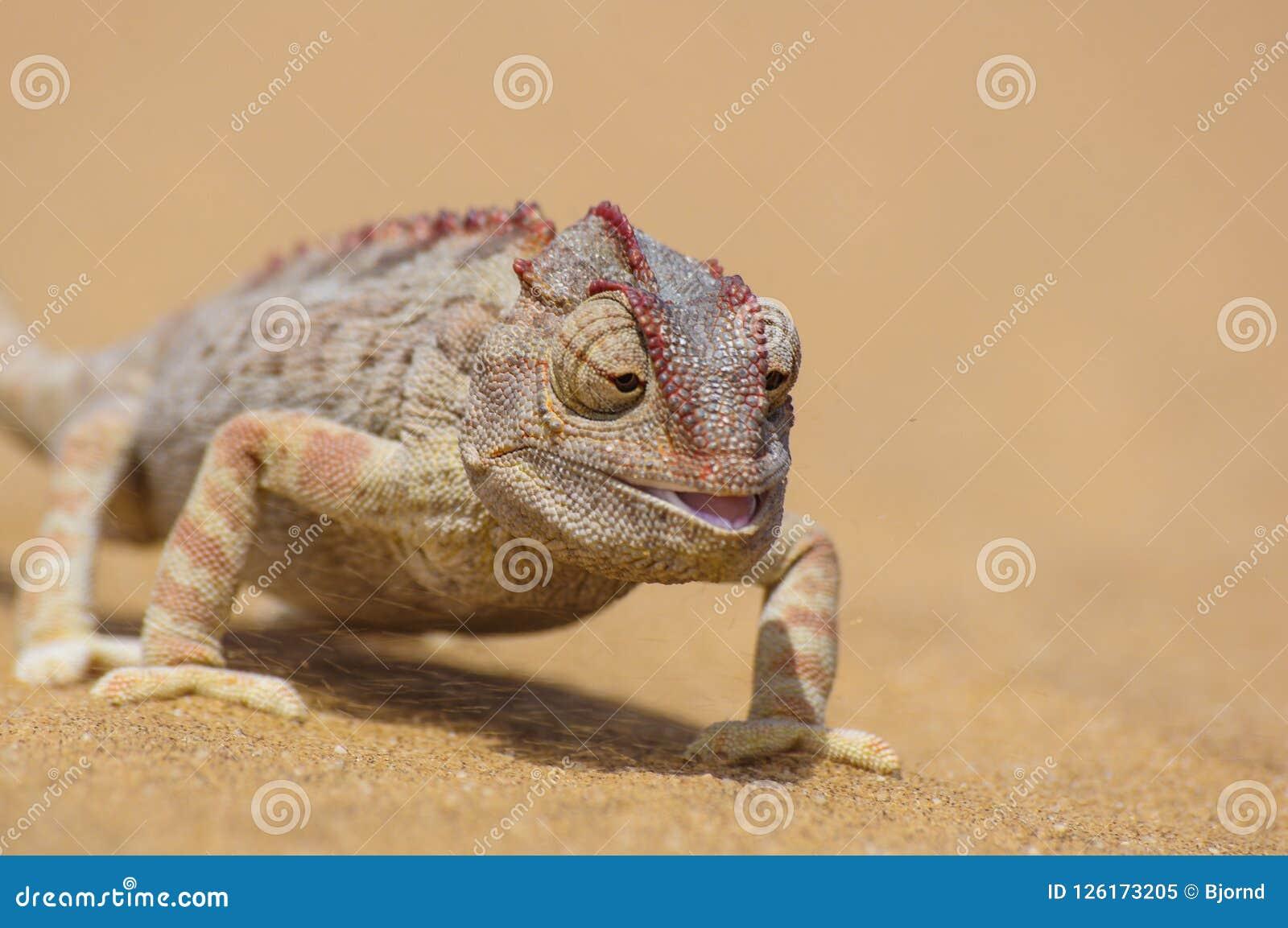 Namaqua kameleont, Chamaeleonamaquensis i namiböknen