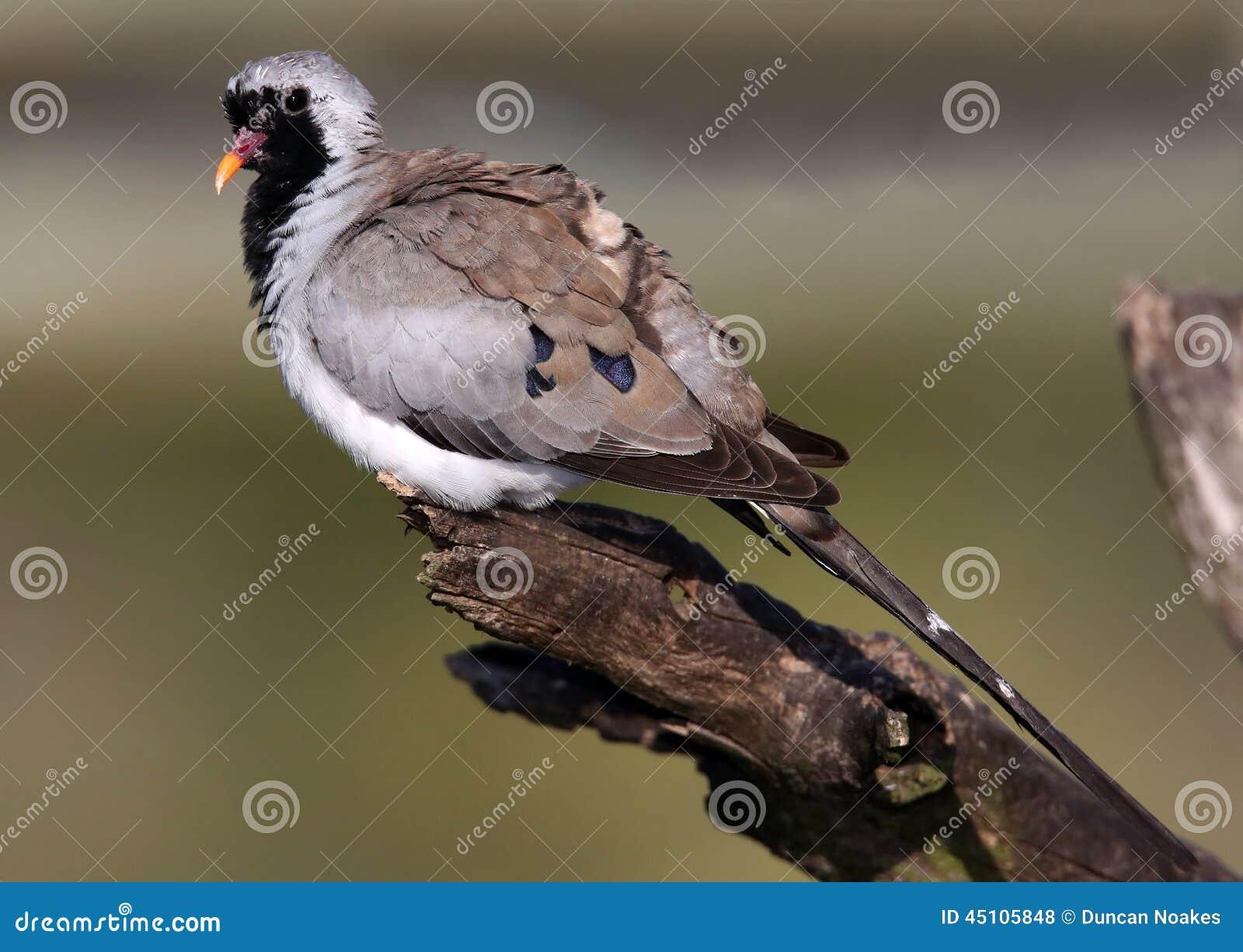 Namaqua-Tauben-Vogel