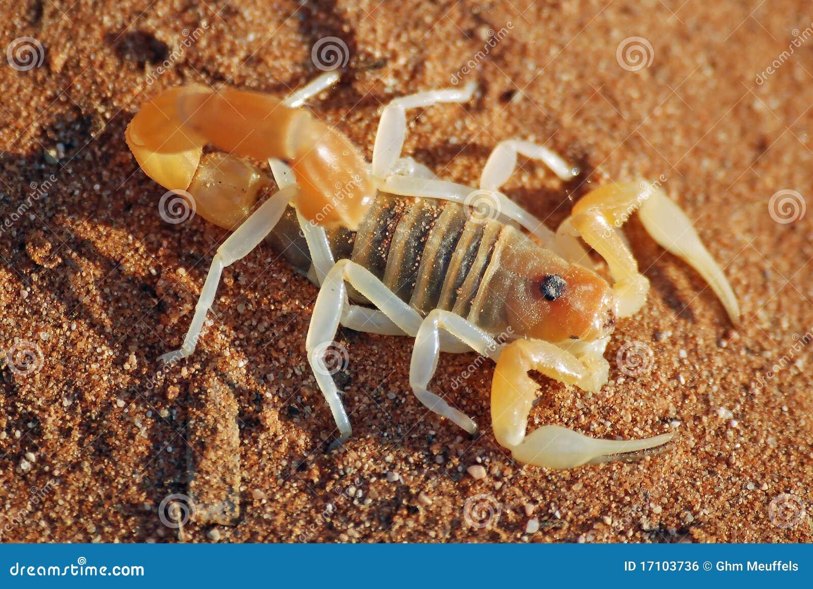 Nambia pustynny skorpion