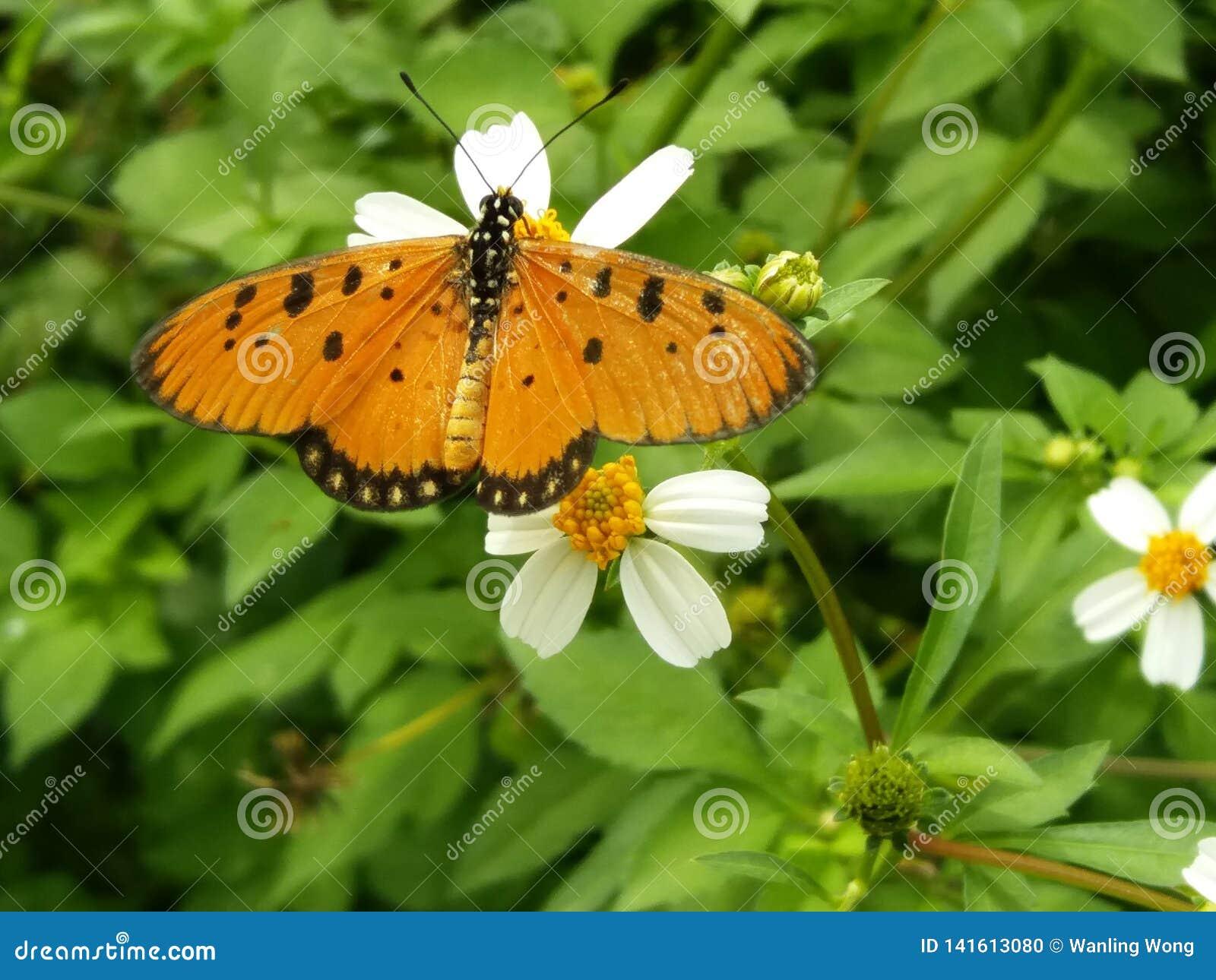 Nameless orange butterfly