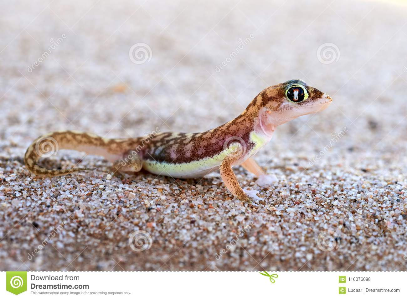 web footed gecko