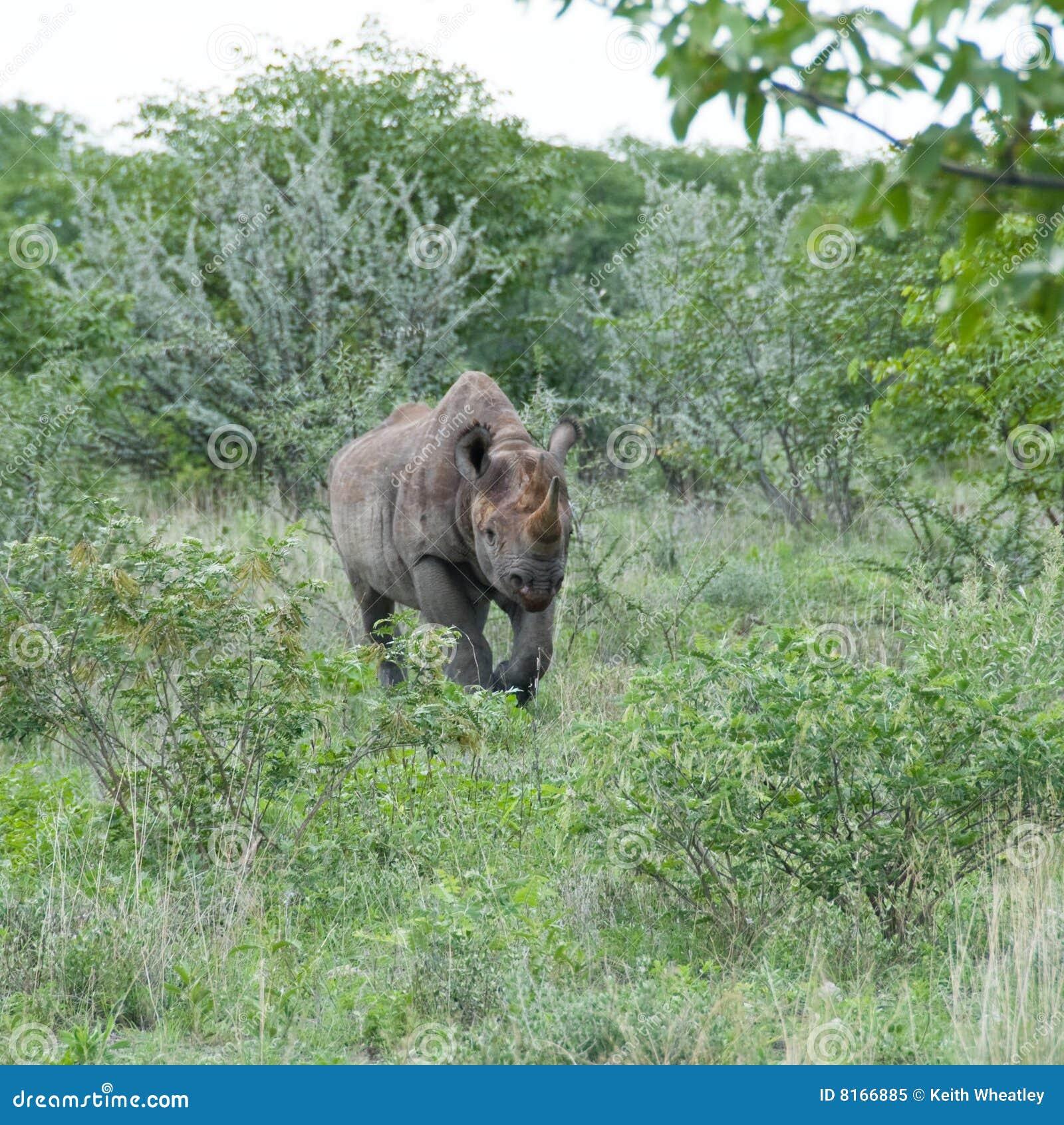 Namibia czarny ładować nosorożec