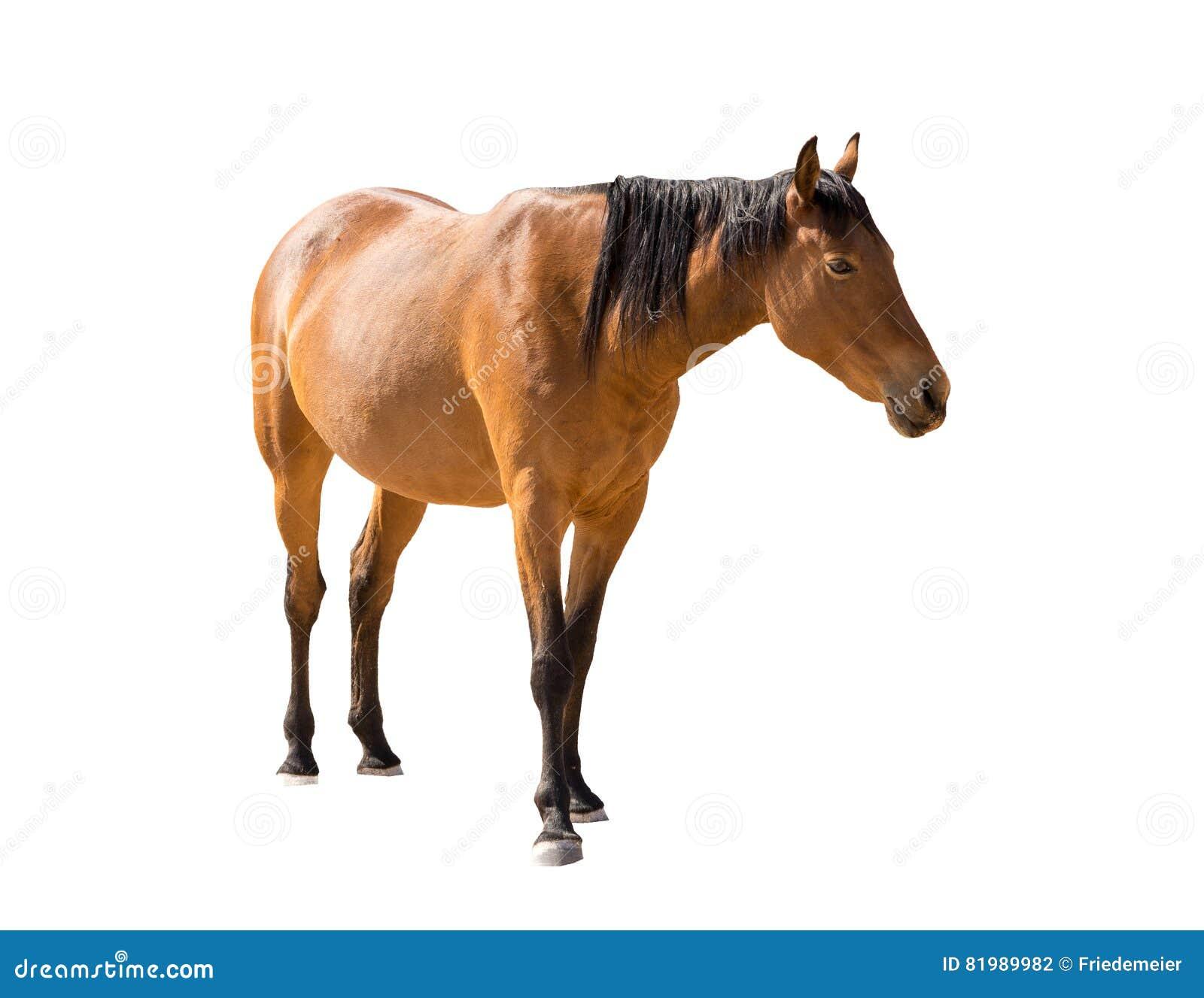 namibian wild horse from garub desert isolated on white background